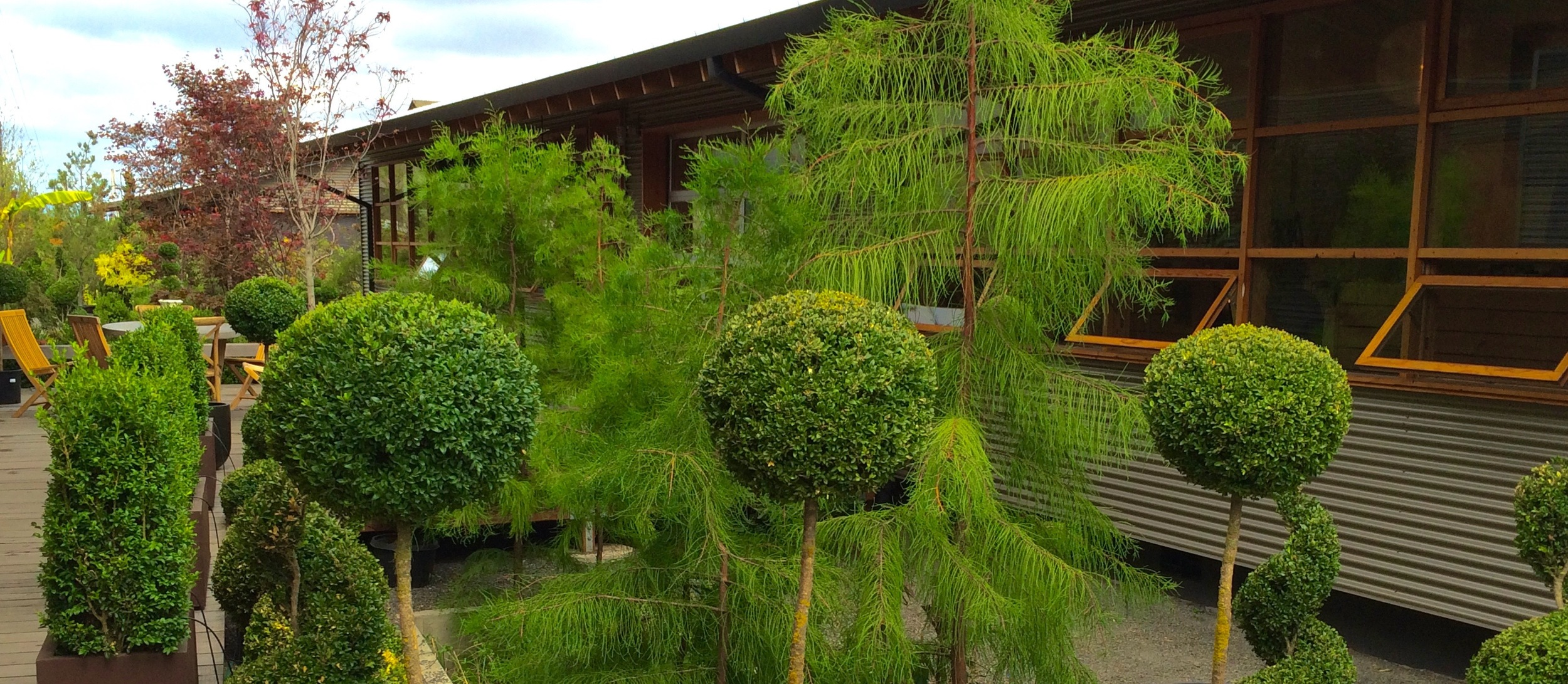 Copy of Topiary Boxwoods