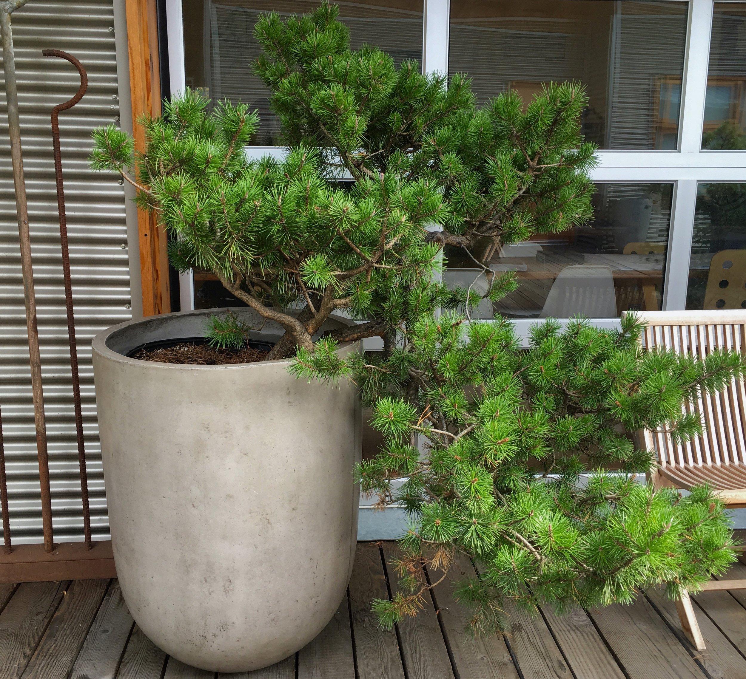 Copy of Evergreen Bonsai in Concrete Planter