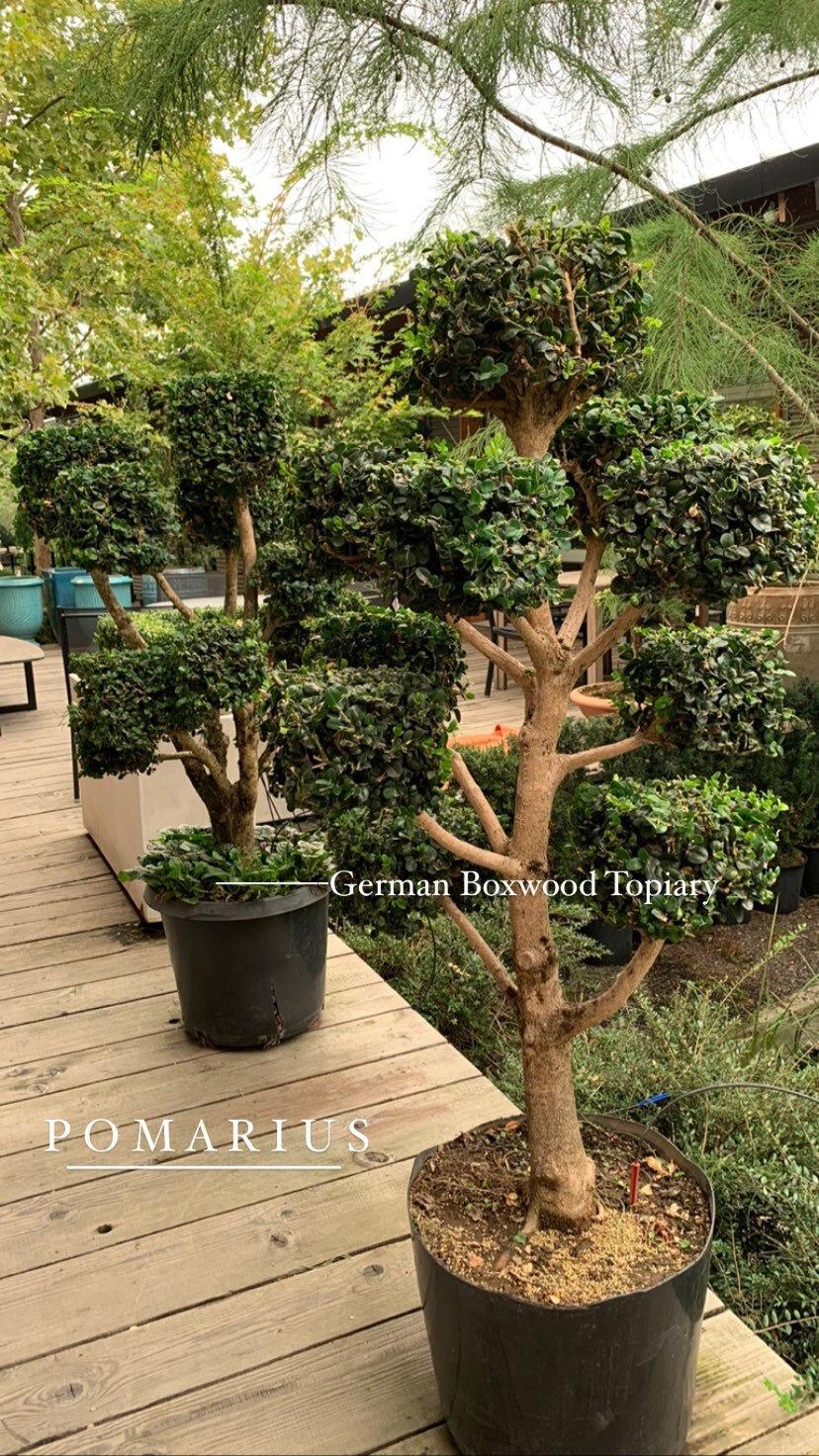 Boxwoods Topiary Pomarius Nursery Plants With Character