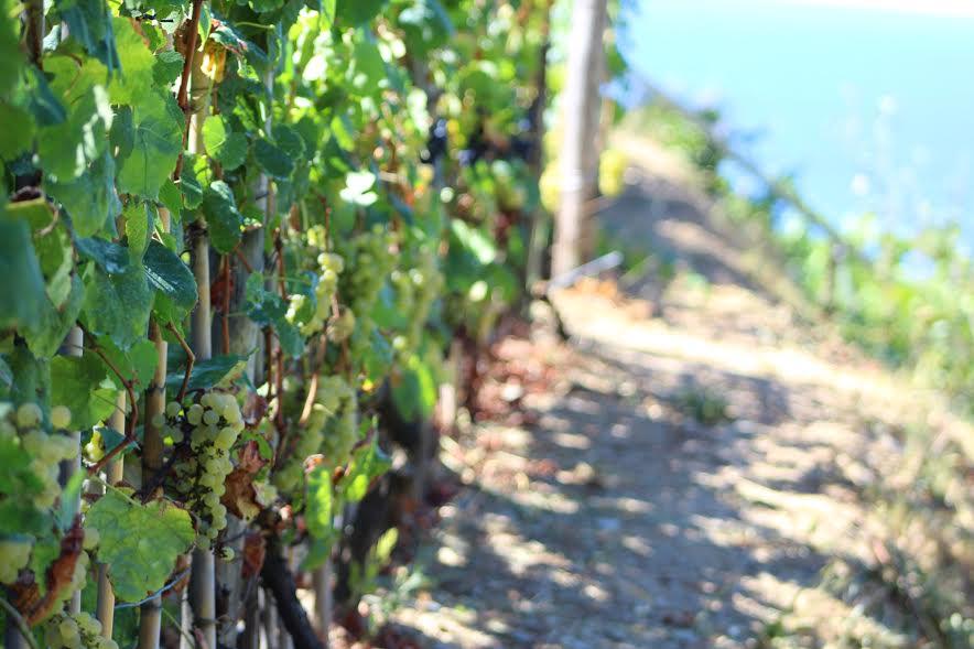 vineyards in cinque terre