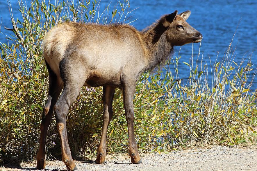 baby elk in estes park