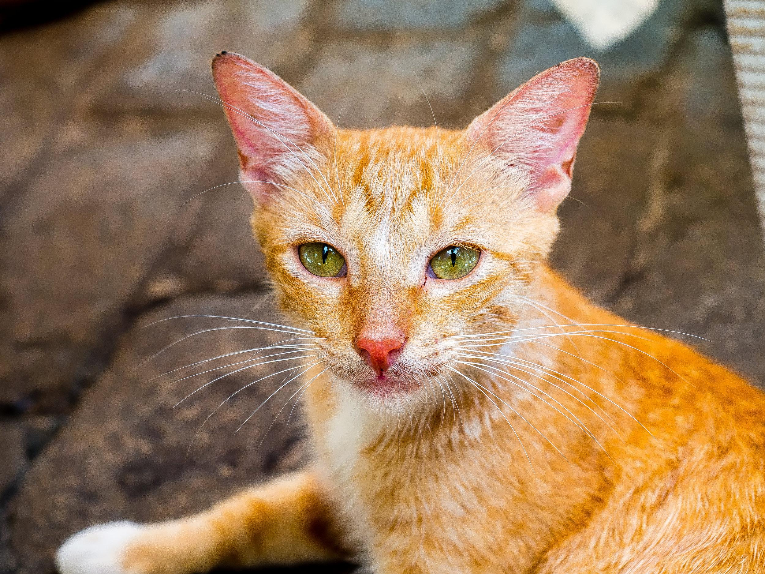 Cuba cat.jpg
