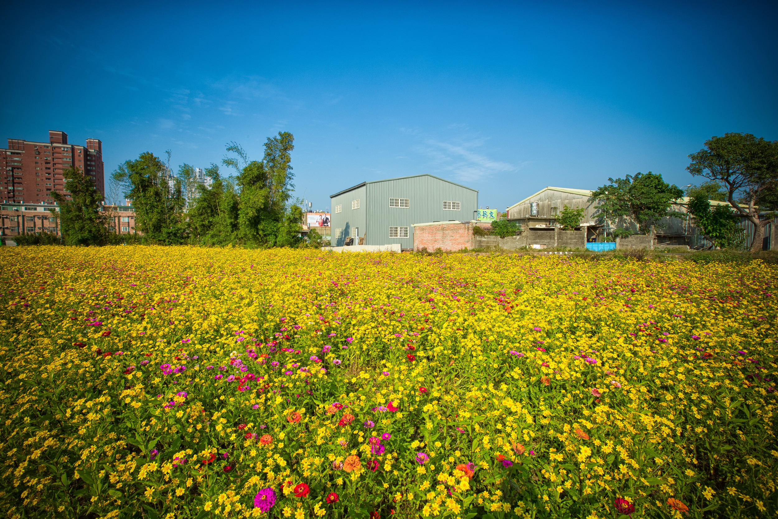 - A field of flowers near my home