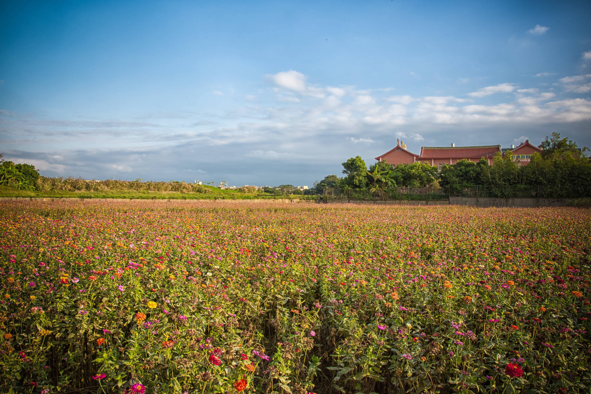 - A field of flowers outside of a local temple