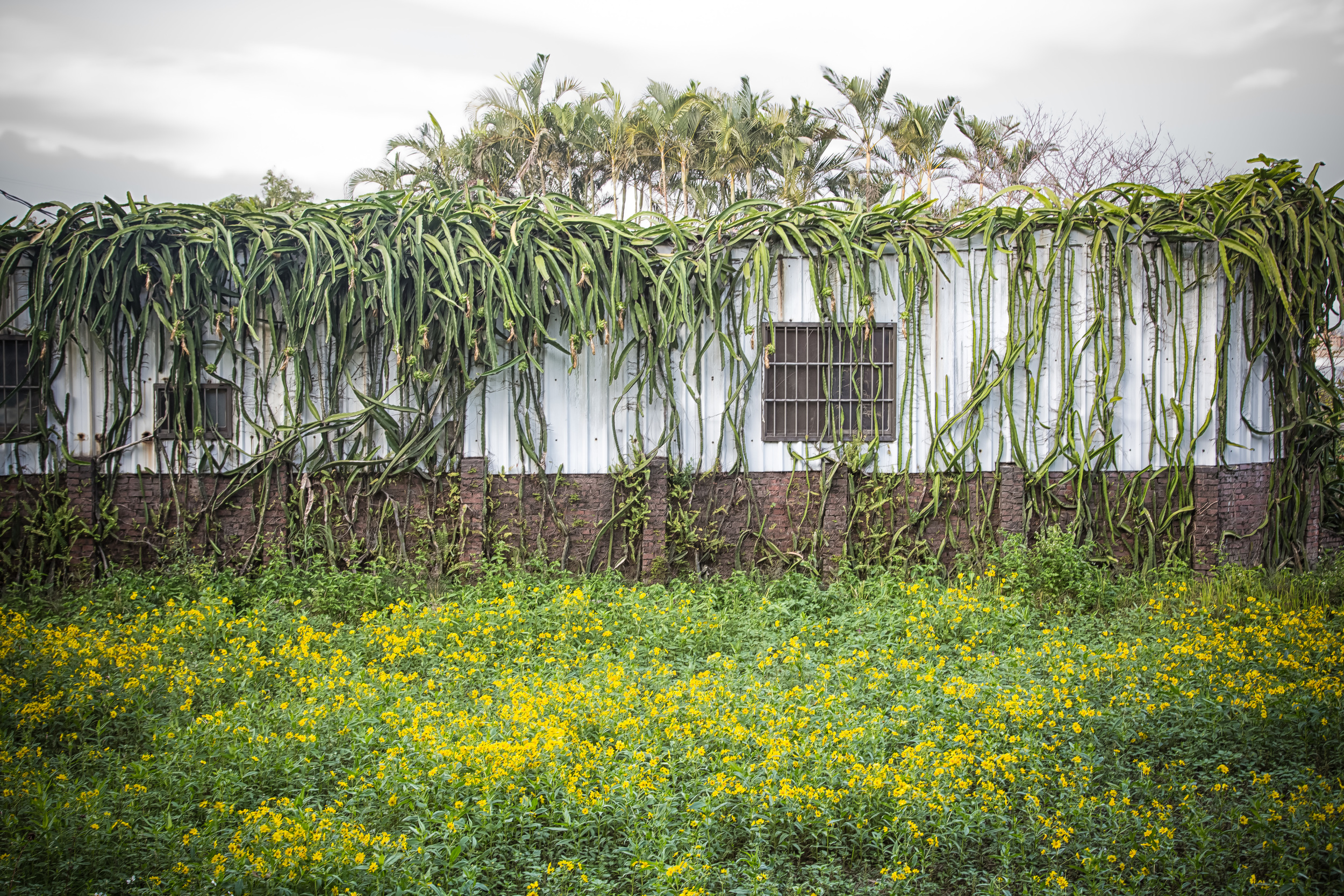 - A field of flowers with dragon-fruit growing on the side of a building.