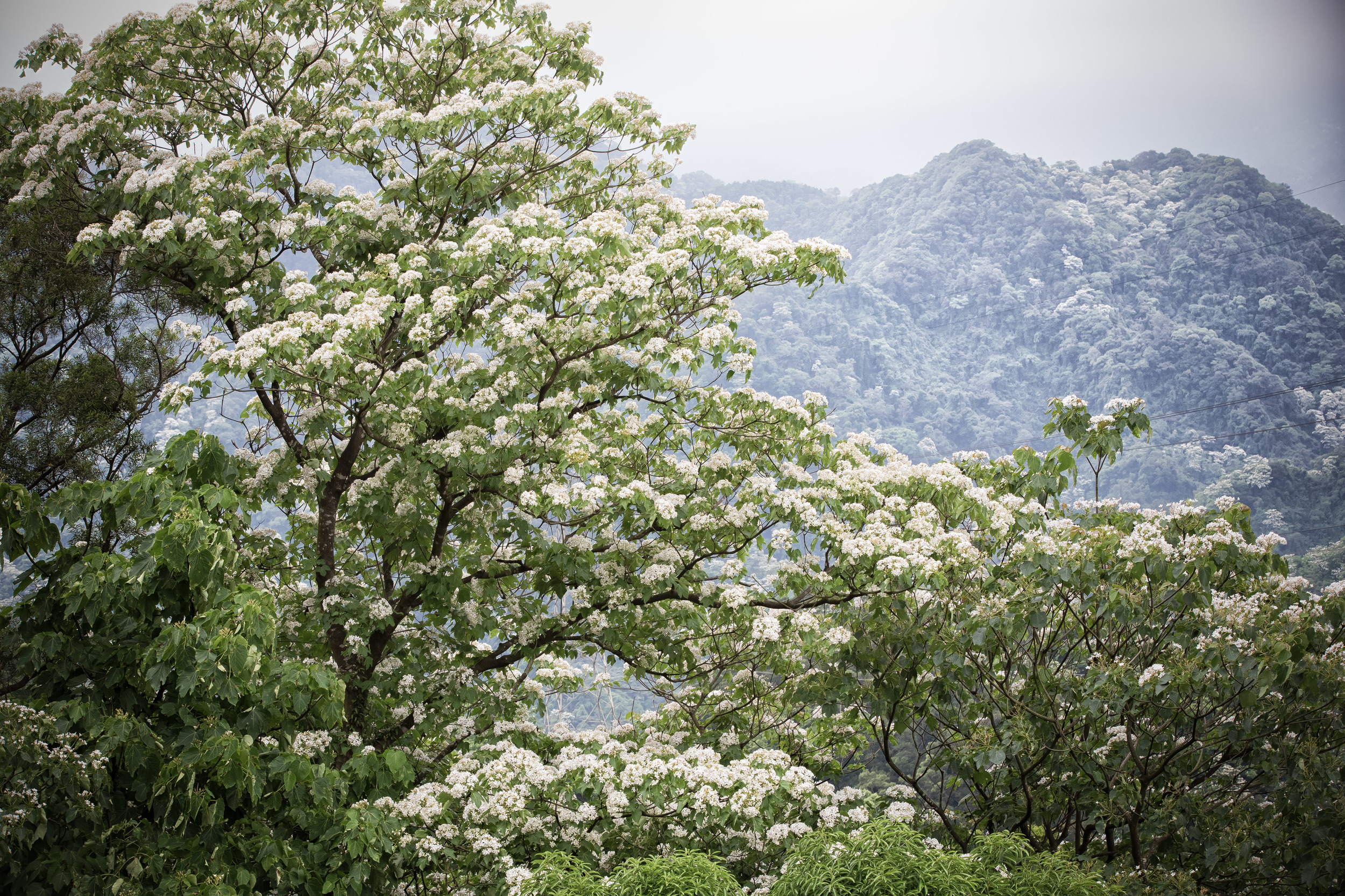 White Tung Blossom Mountains.