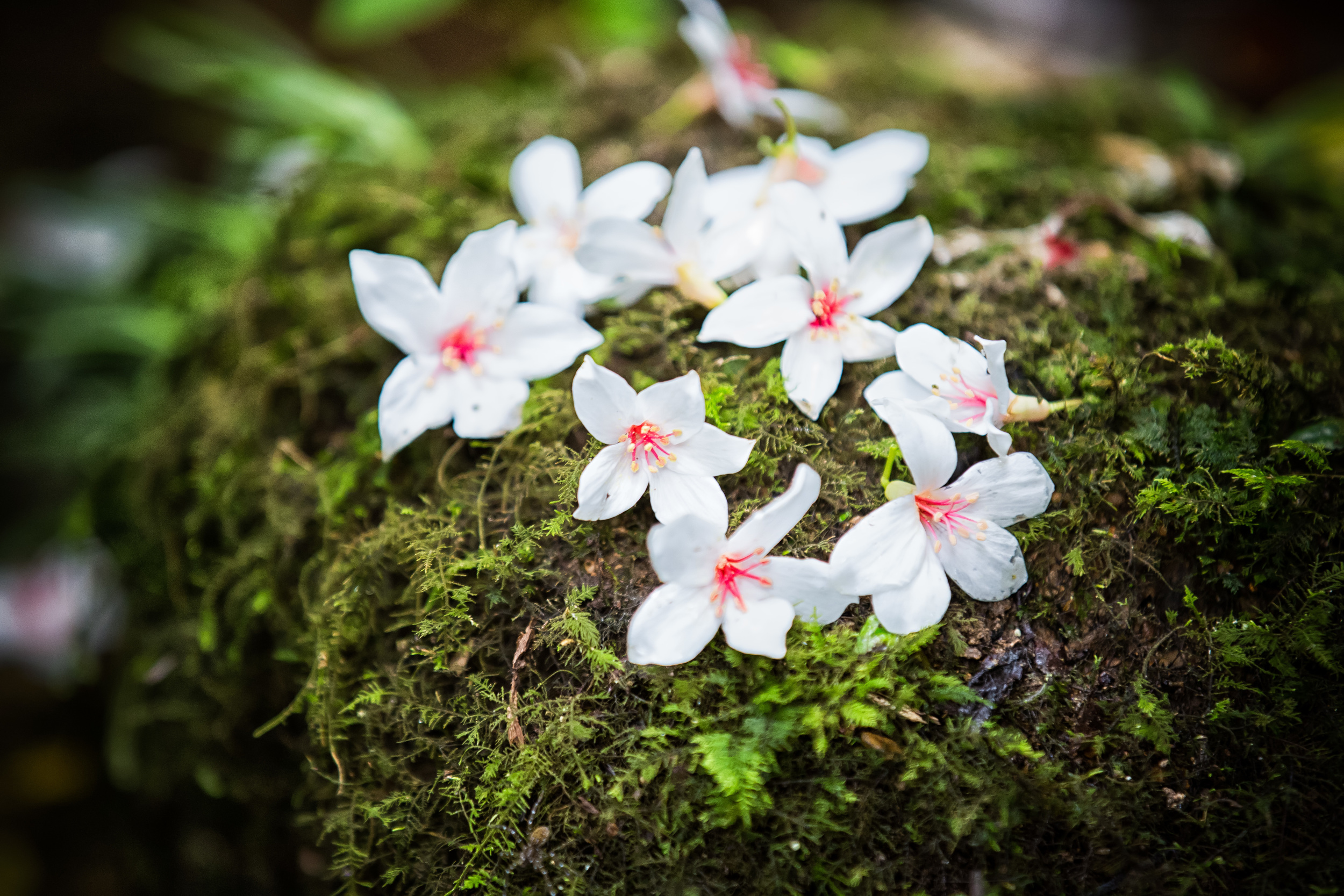 Blossoms that have landed on a moss-covered stone.