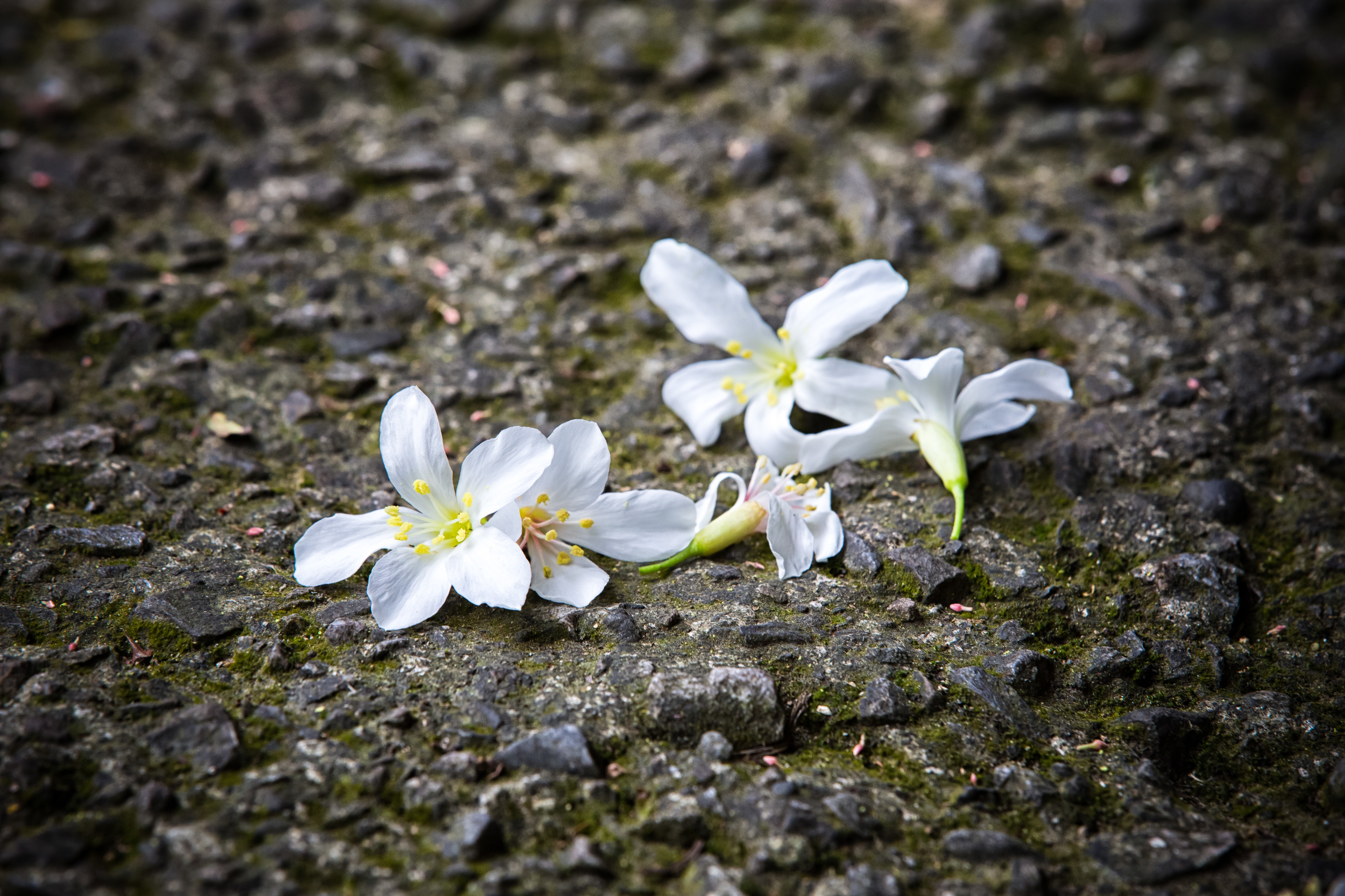 Tung Blossoms that have fallen on a hiking trail.