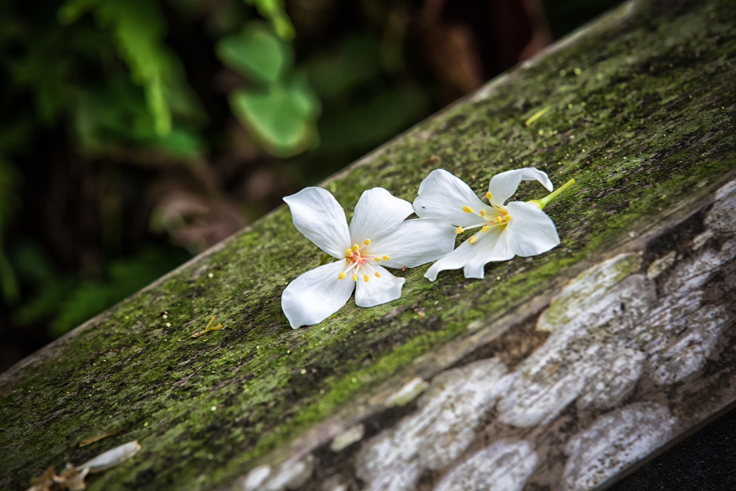 Tung Blossoms that have fallen on a hand rail.
