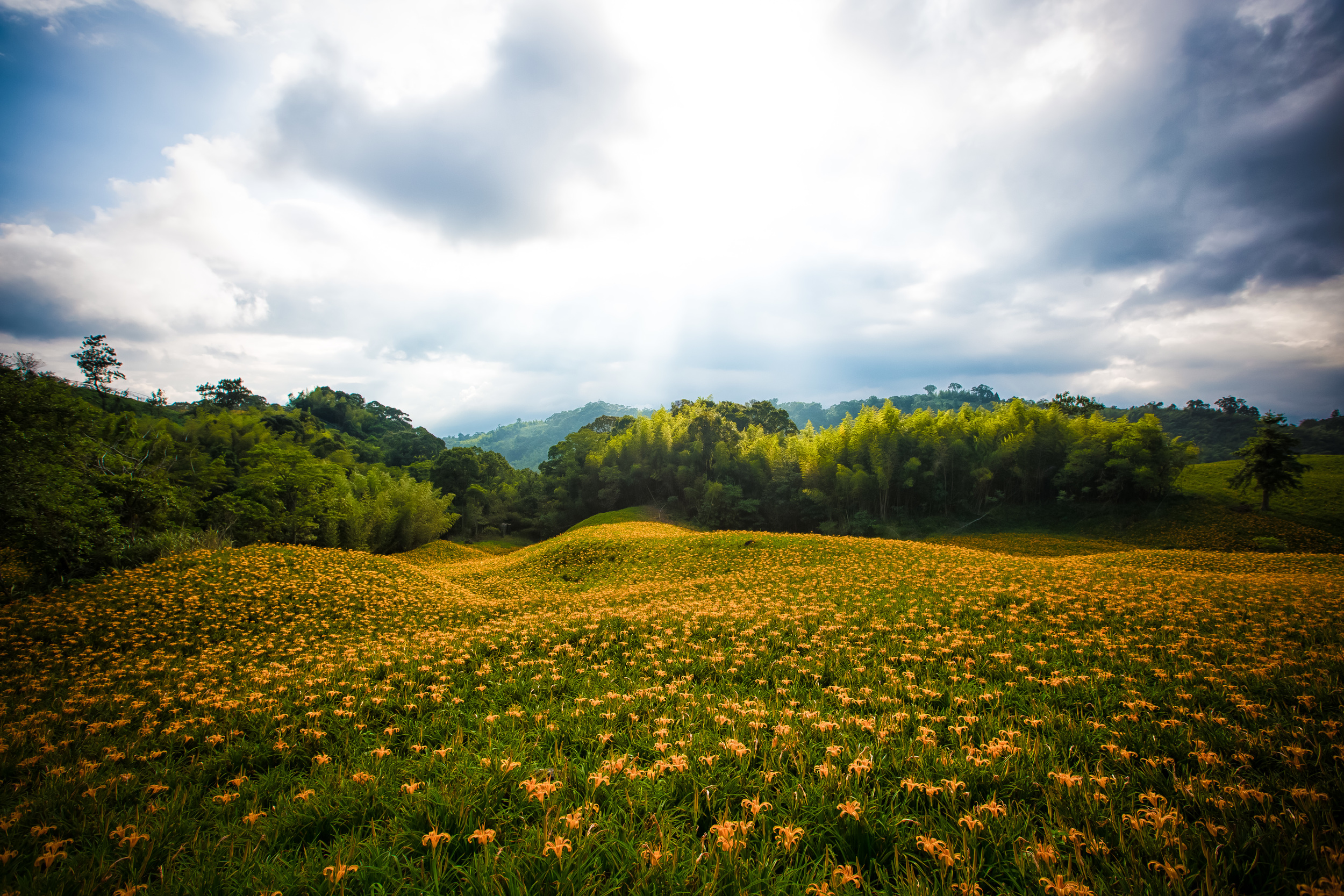 Rolling hills of lilies