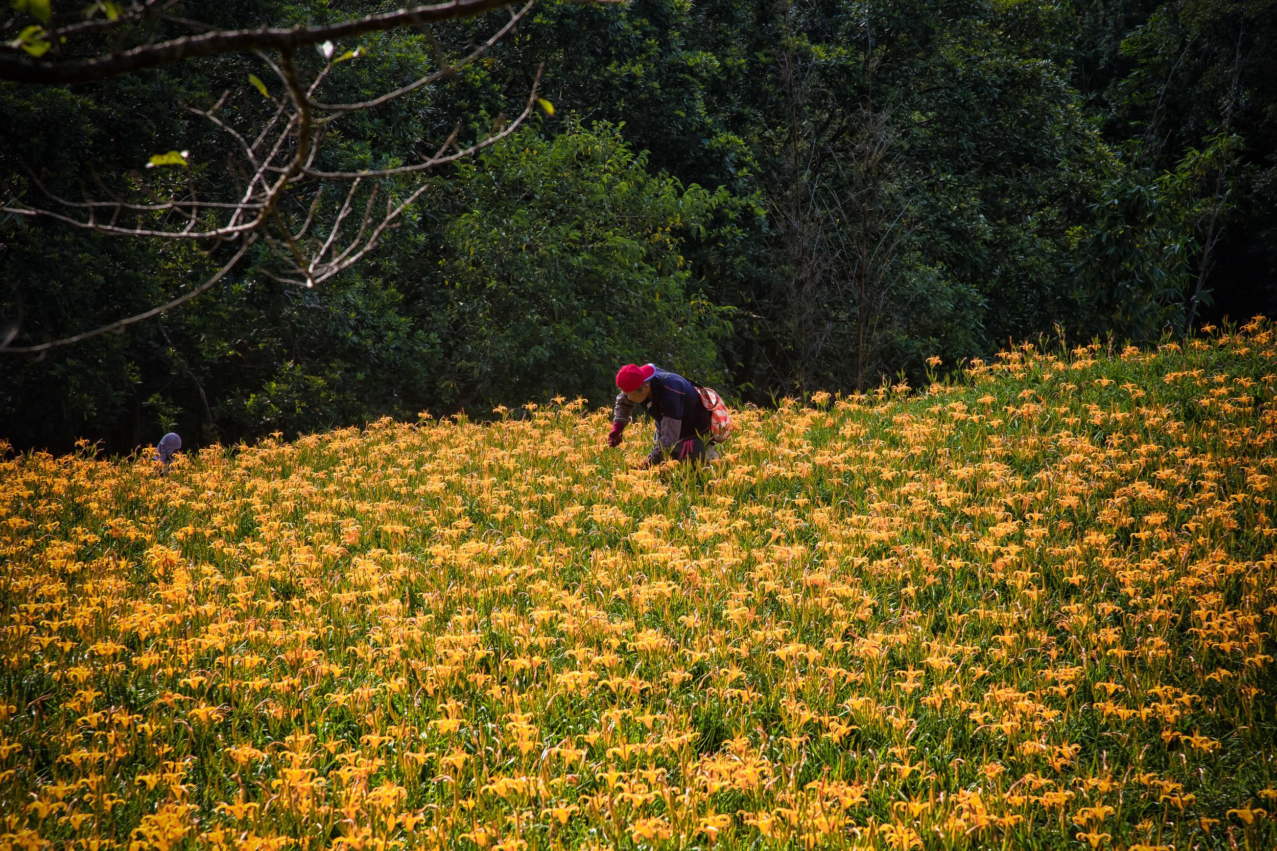 Picking lilies