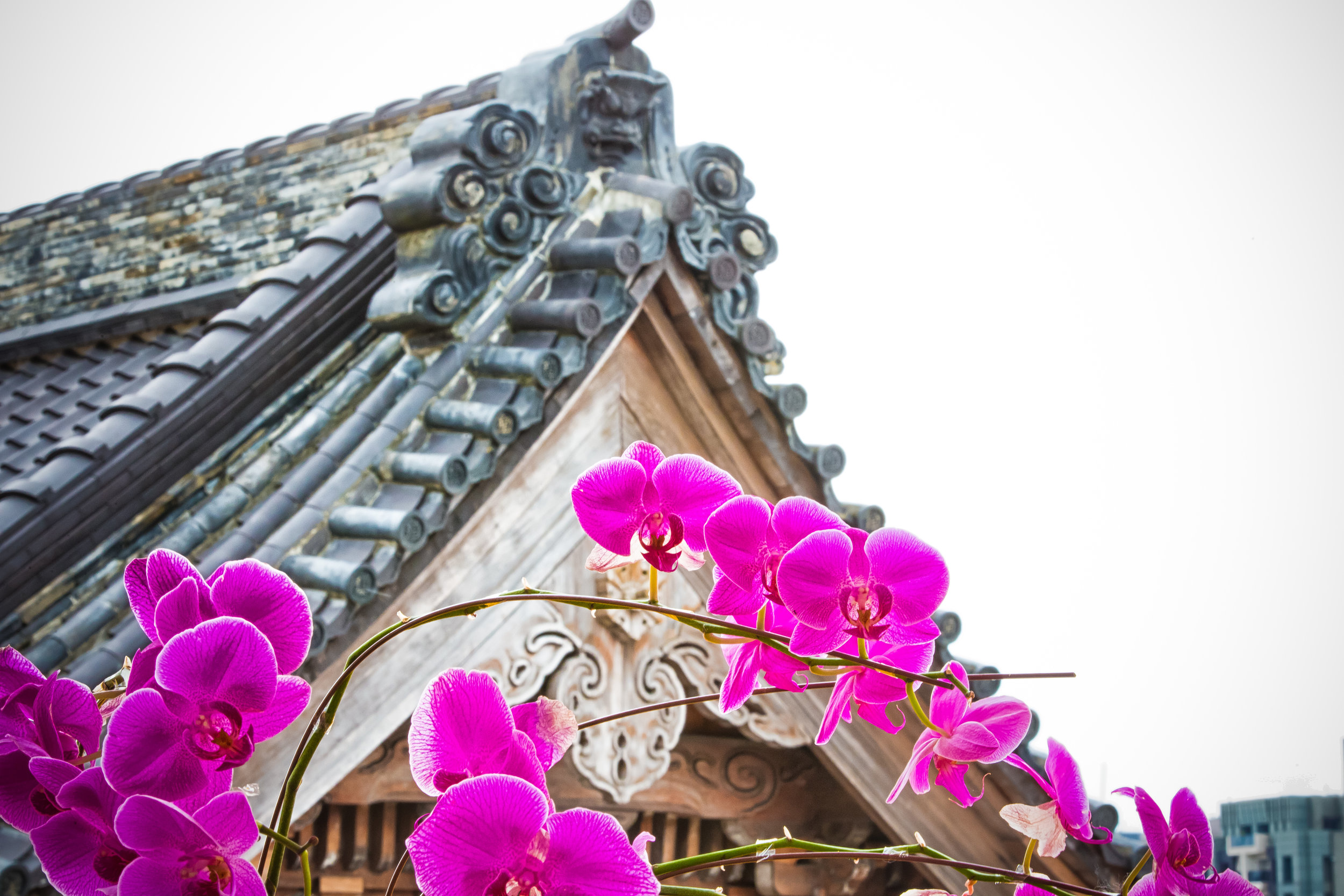 Orchids overlooking the century year old temple.