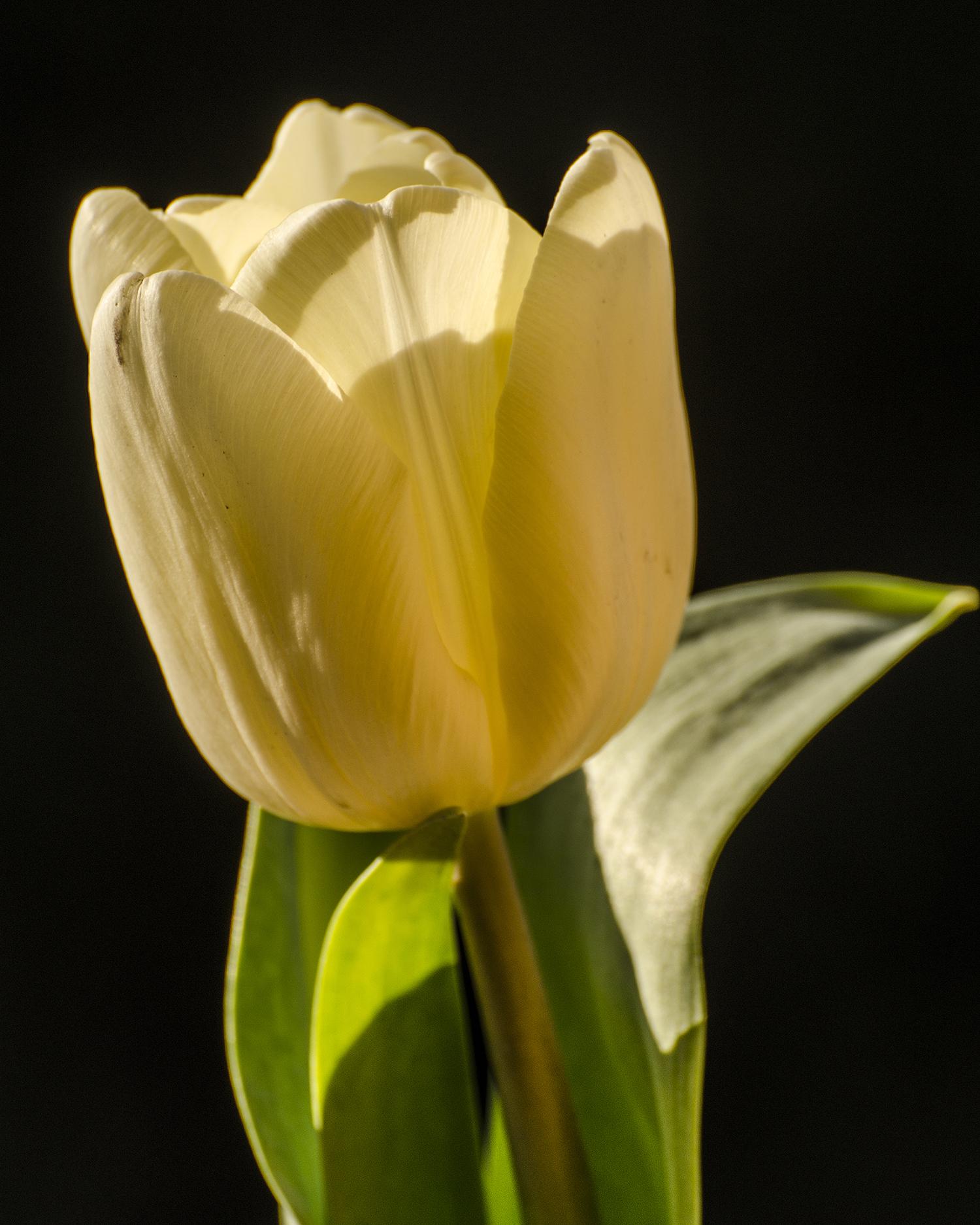 white tulip 7670.jpg