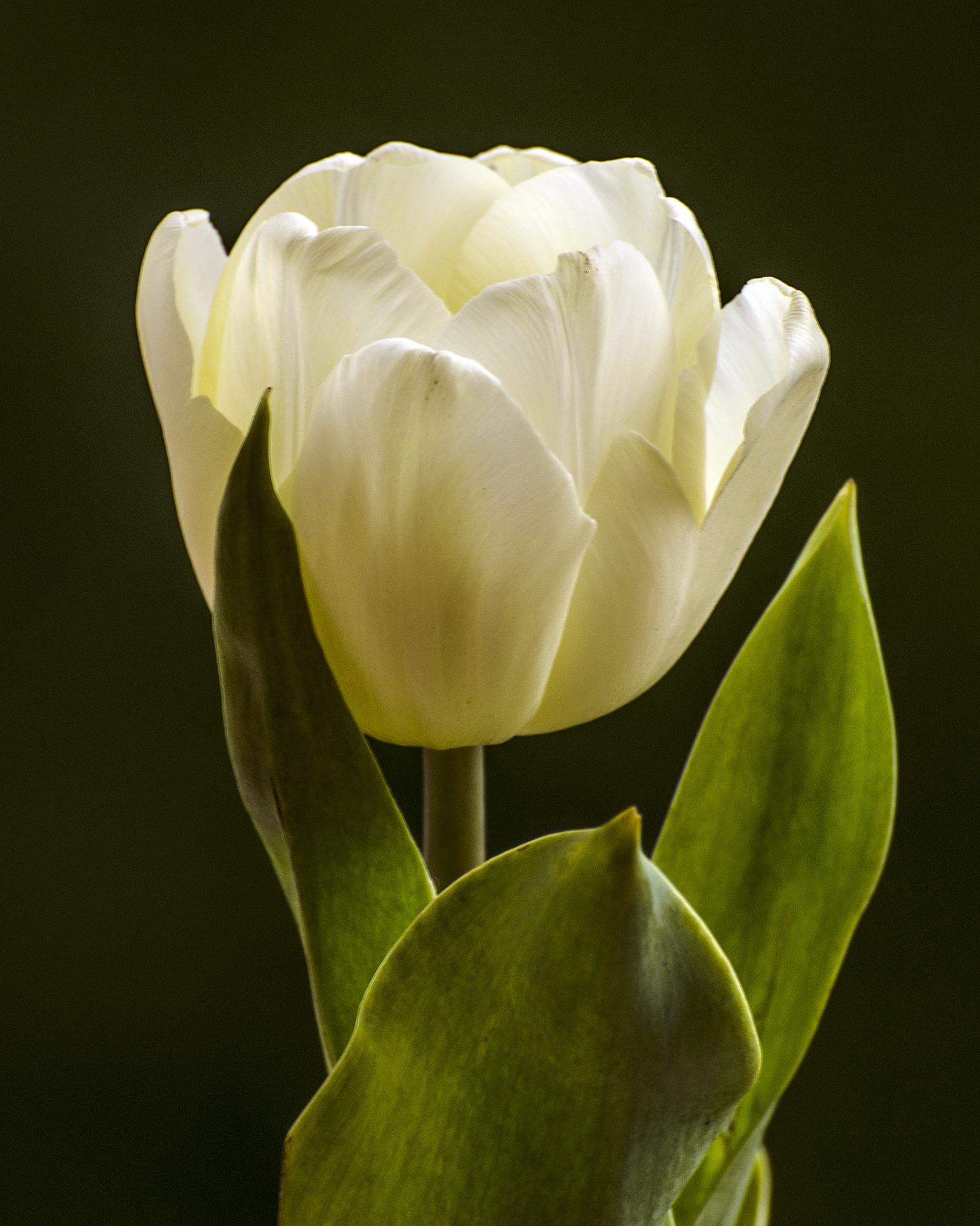 white white tulips 7672.jpg