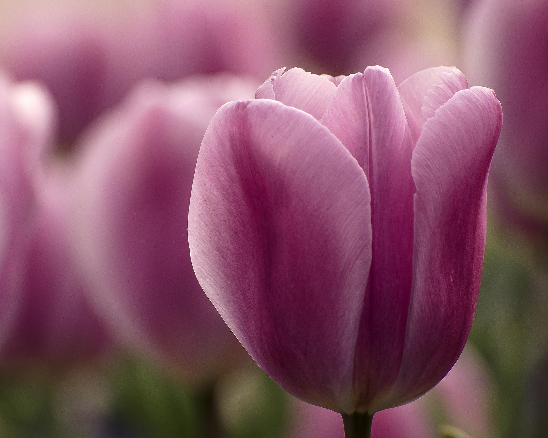 tulipani di lago 7728.jpg