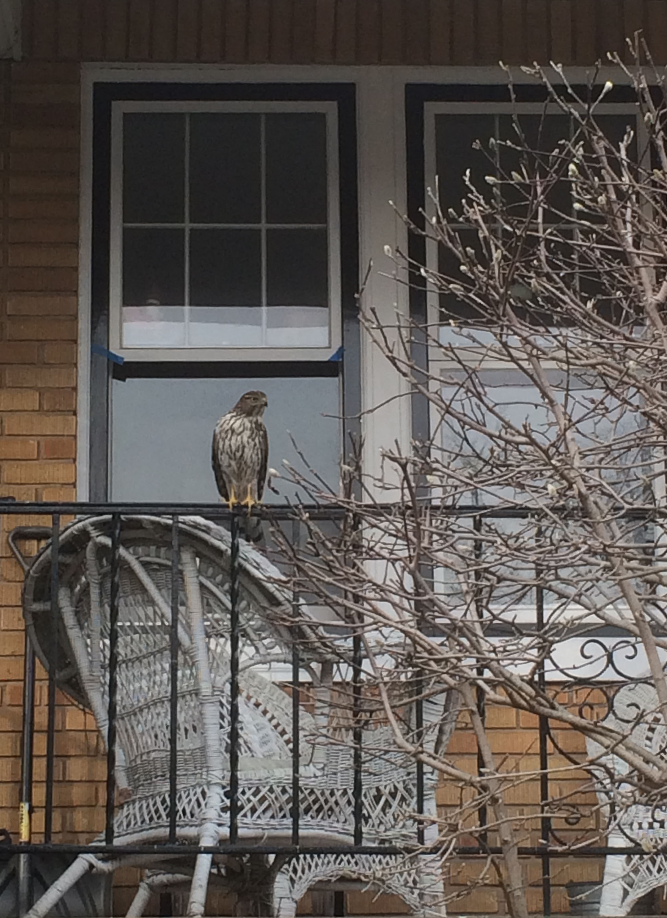 Forrest Bachner spied this Cooper's hawk  (accipiter cooperii)  on T Street. DoEE's rauch said that with age This immature bird will become more gray on its head, wings, and back.
