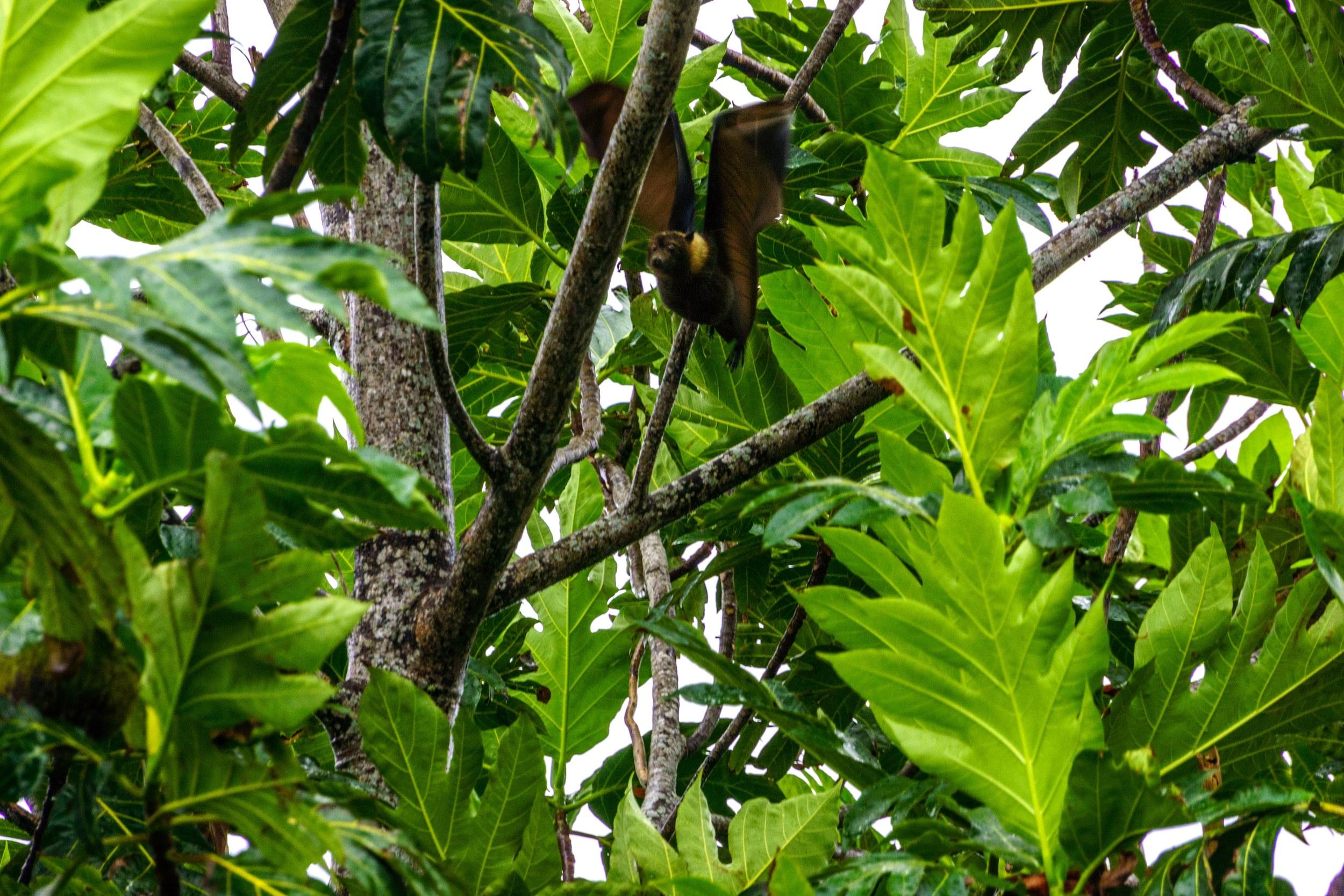 Bat in the Breadfruit Tree (c) Claudia Jocher 2014