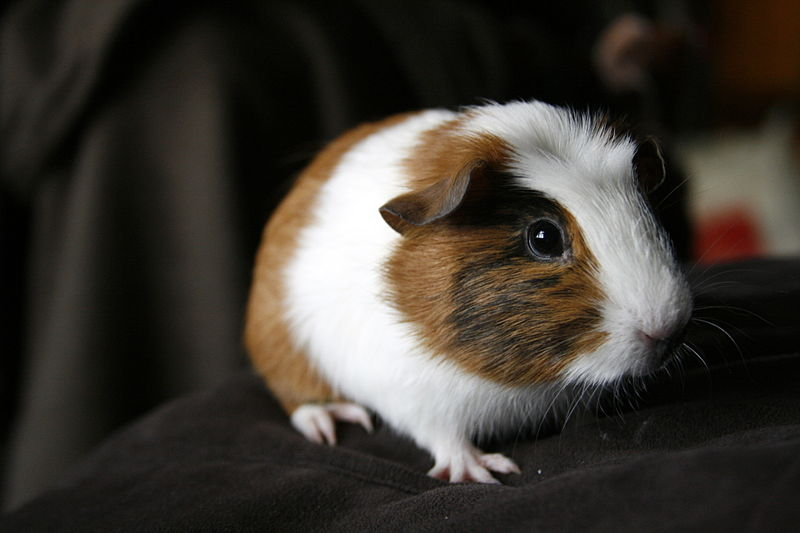 young Guinea pig (without any furniture). Pic by  Jay Reed  via Wikicommons.