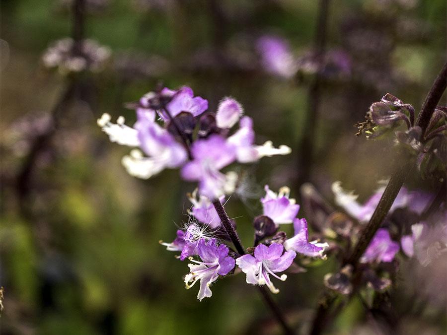 Thai basil flowers in my garden. Photo by Claudia Jocher.