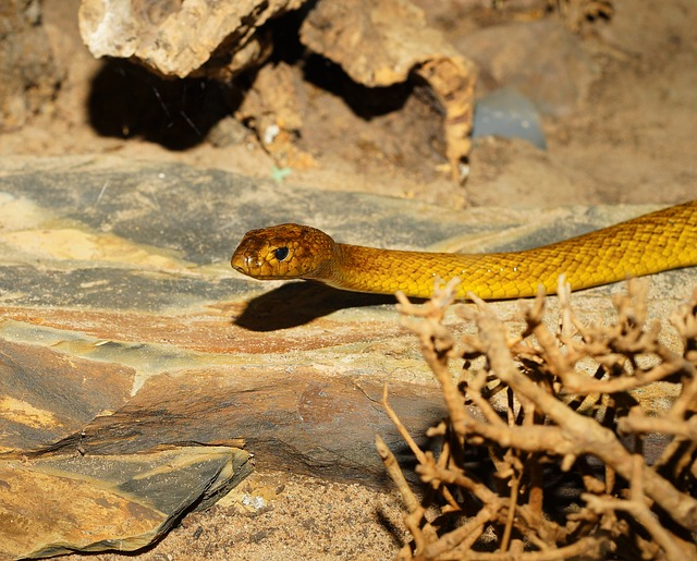 Central Australian Taipan. Photo by  Karsten Paulick .