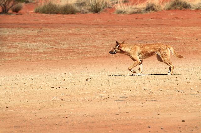 Dingo photographed by  Jacqueline Wales .