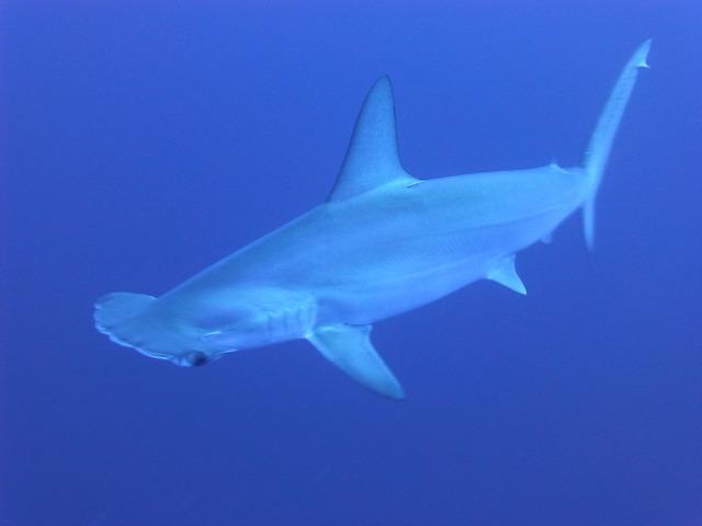 Hammerhead Shark. Photo by  Took .