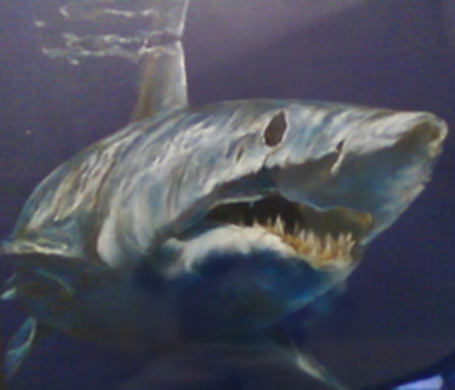 Mako shark. Drawing by  Dean John Lazzaro .