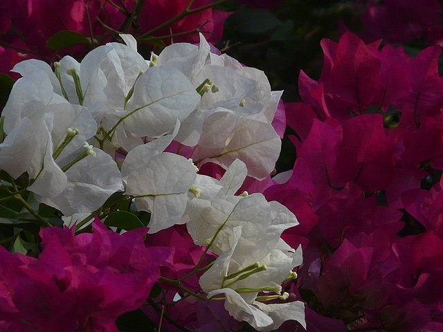 Bougainvillea, long wooden thorns well hidden. Photo by  Dinesh Valke .