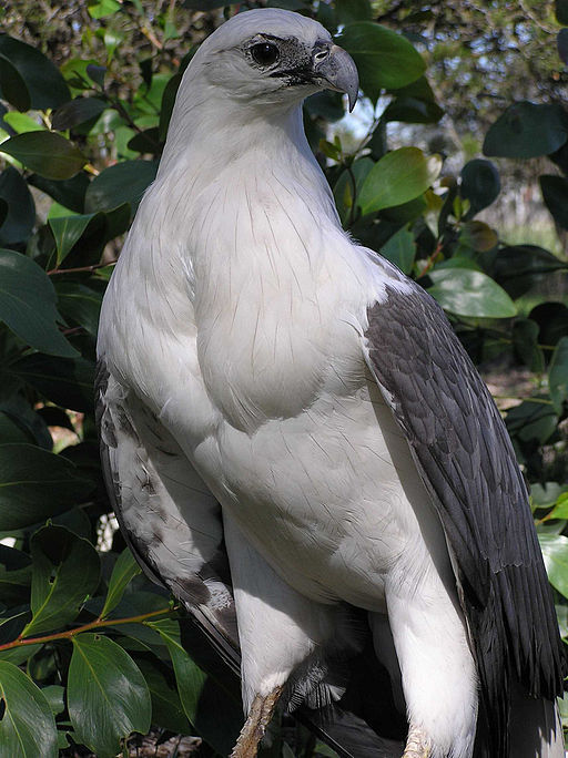 White-bellied sea eagle. Photo in the Victorian Gippsland by  Snowmanradio .