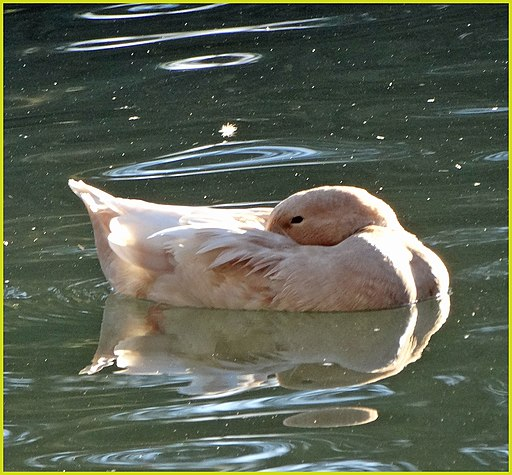 Sleepy duck. Photo by  inkknife_2000 .