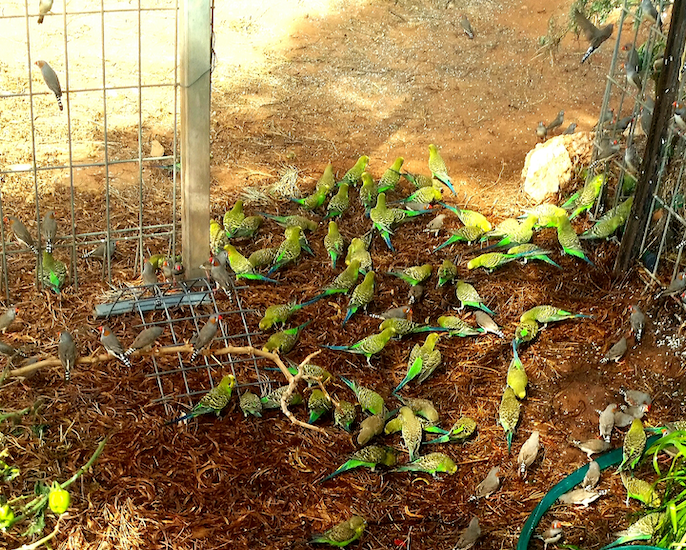 Budgies and finches seeking water in a neighbour's desert garden. Photo ©Claudia Jocher 2019