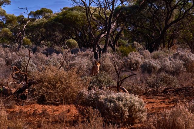 Wild dingo by the roadside. Pic ©Claudia Jocher 2019.