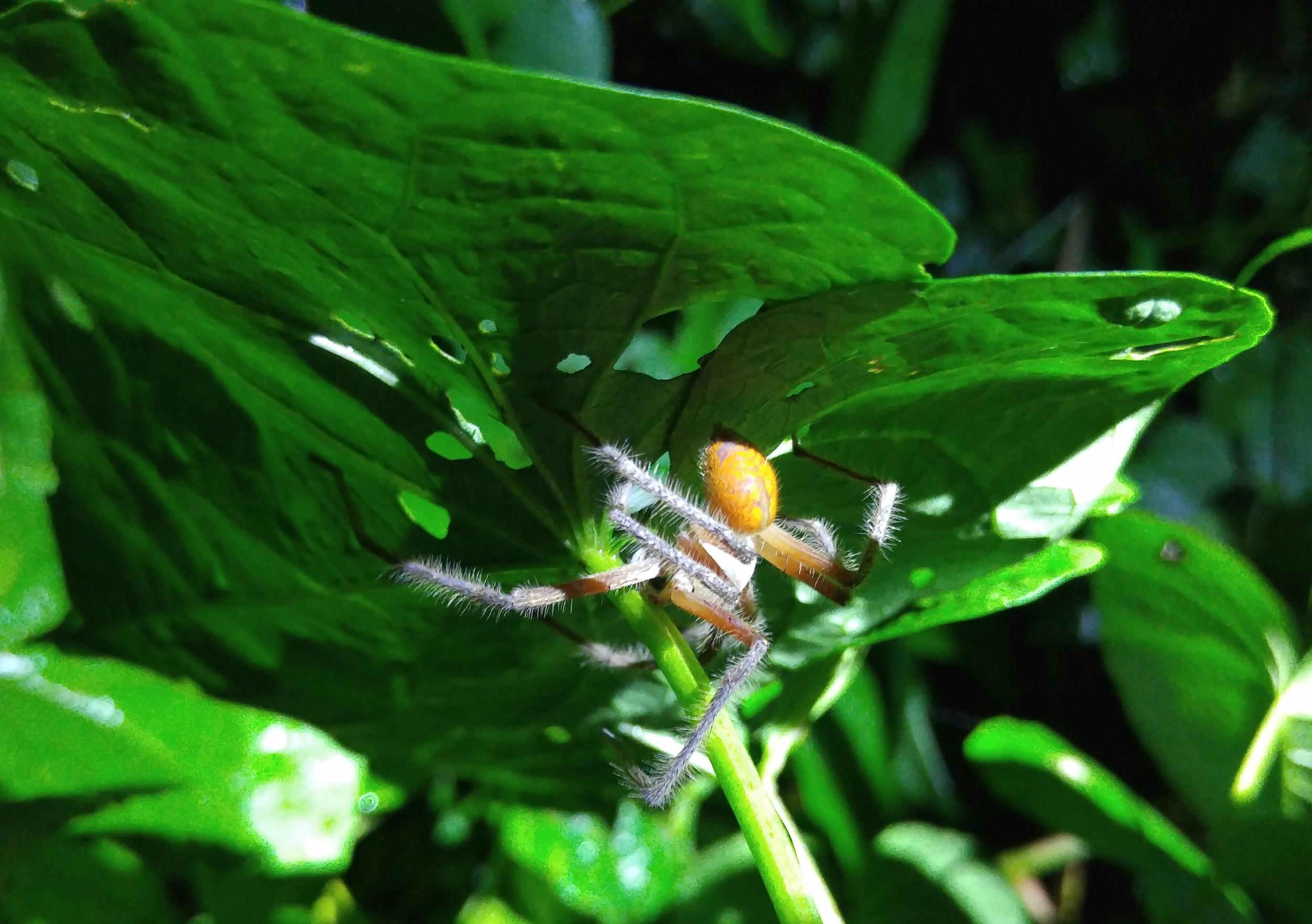 Arboreal spider