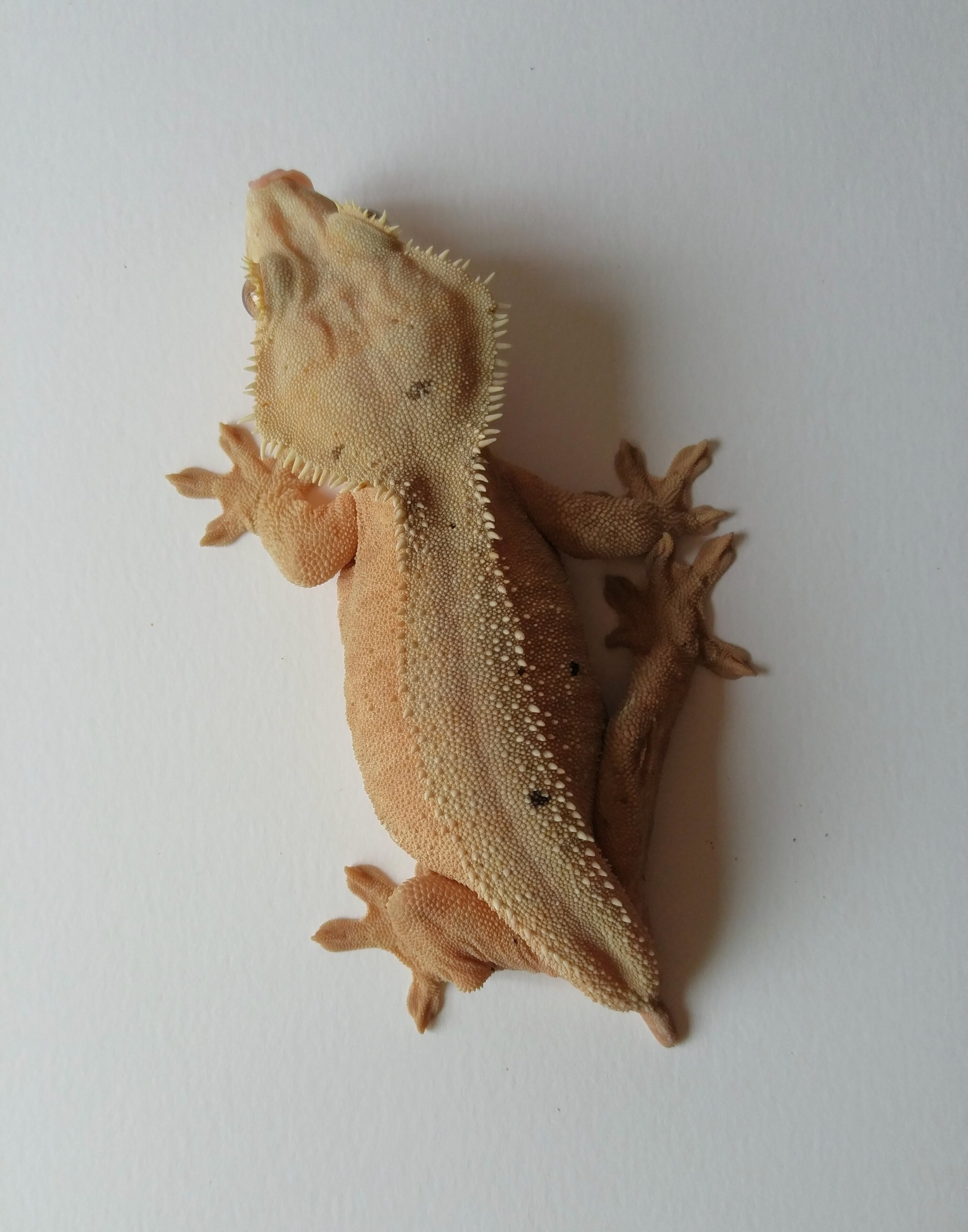 Female 6B: This pretty pink bicolor female was produced by Lauren Oquita.