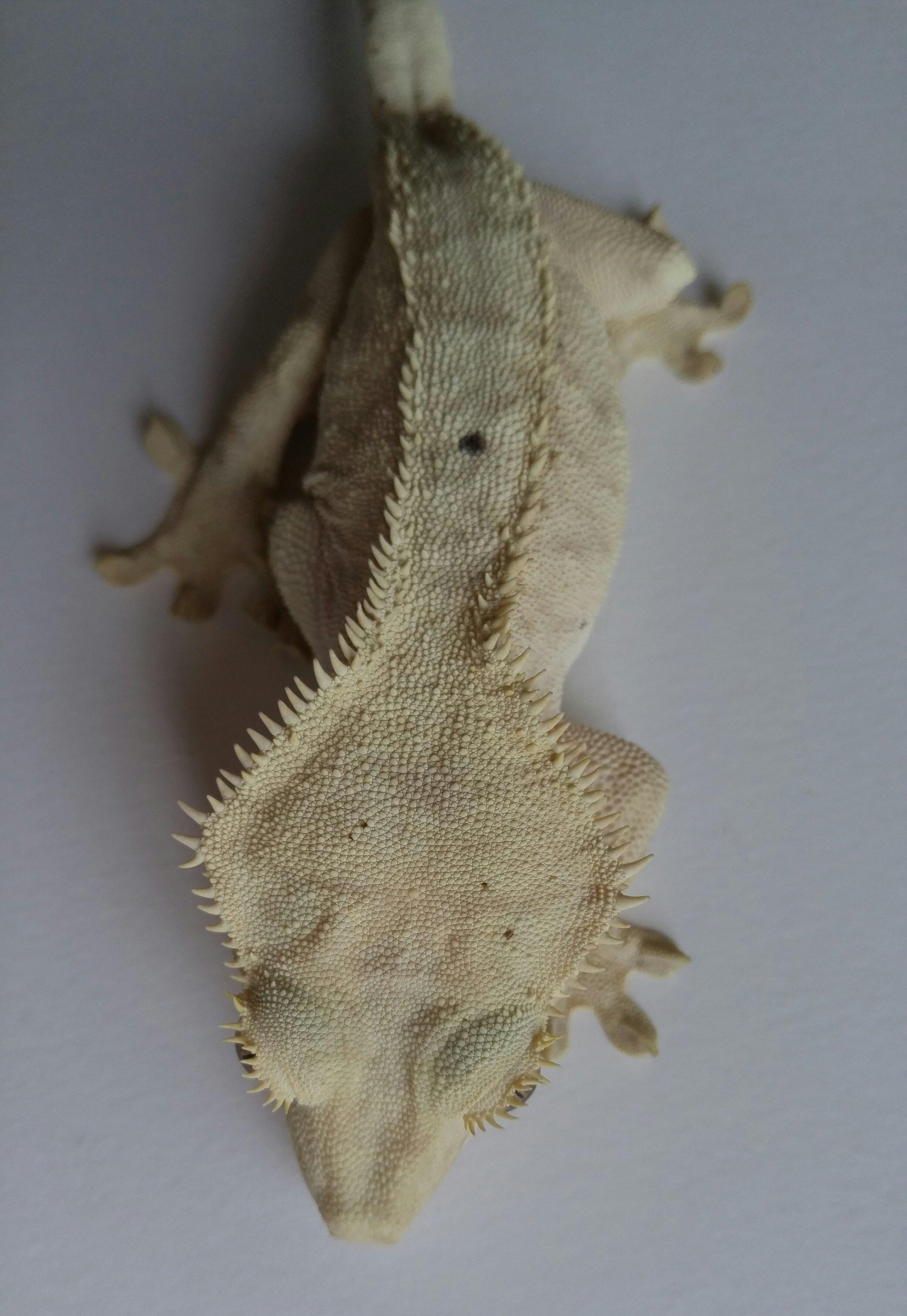 Female 8B, Pangea line