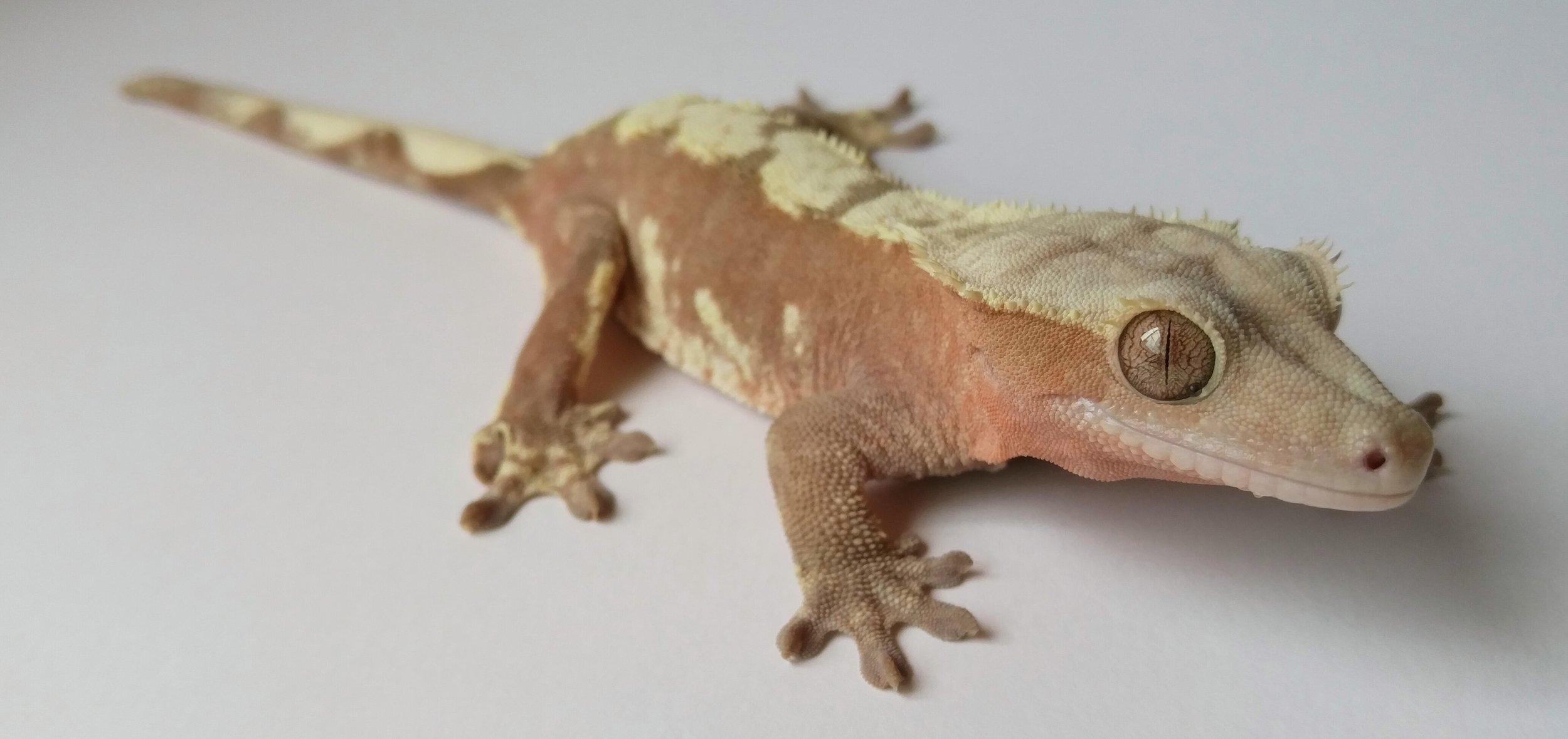 11C pink and cream harlequin crested gecko.