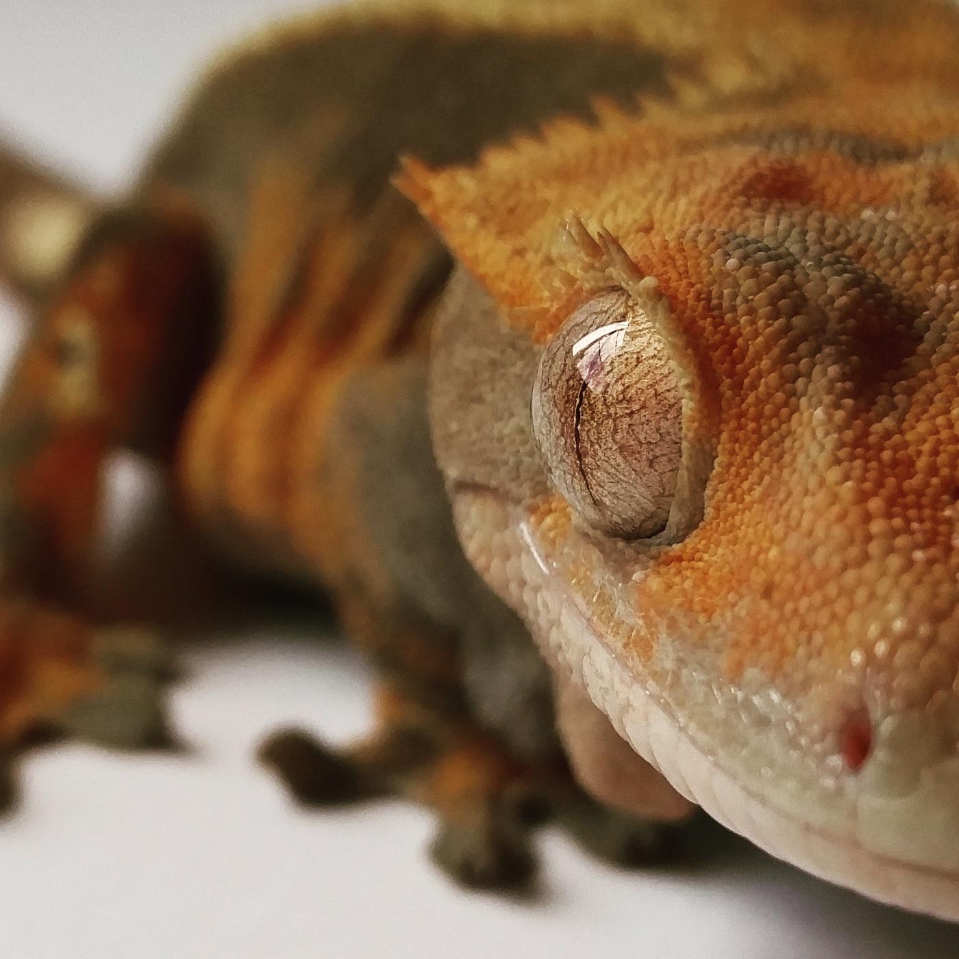 Crested Gecko :  Correlophus ciliatus