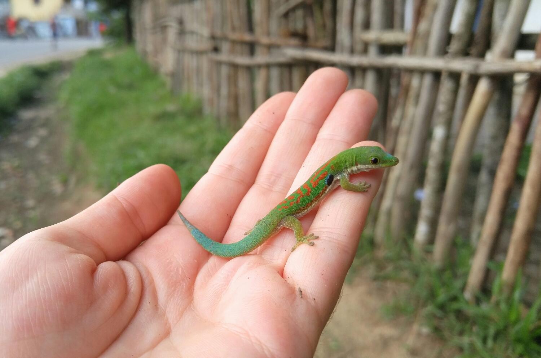 Peacock Day Gecko (Phelsuma parva), Ranomafana.