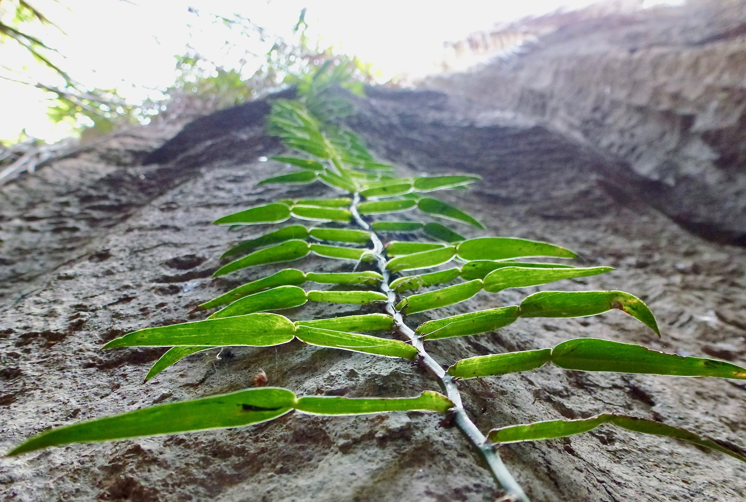 Vegetation growing up the wall of the tsingy.