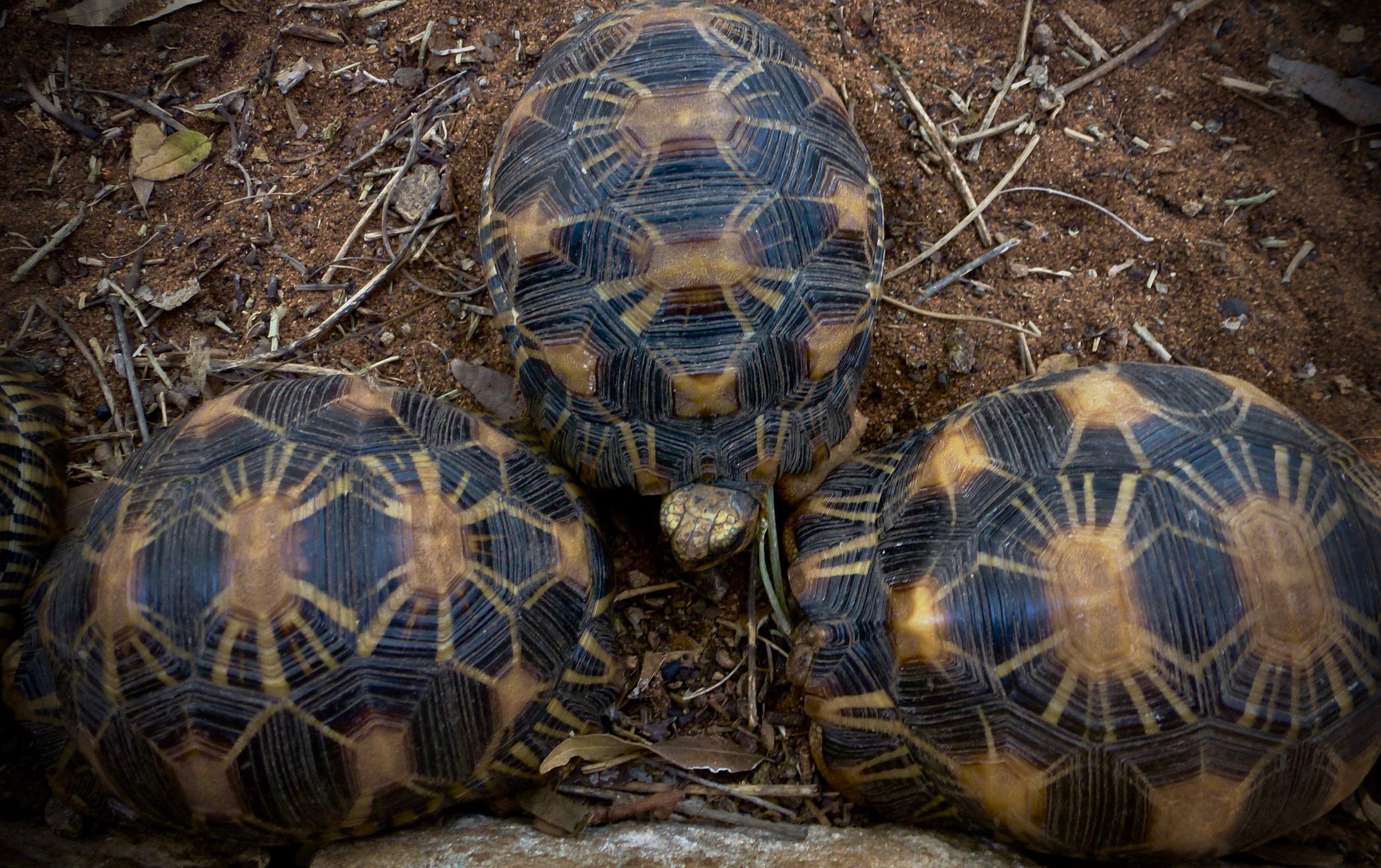 Radiated tortoises ( Astrochelys radiata).