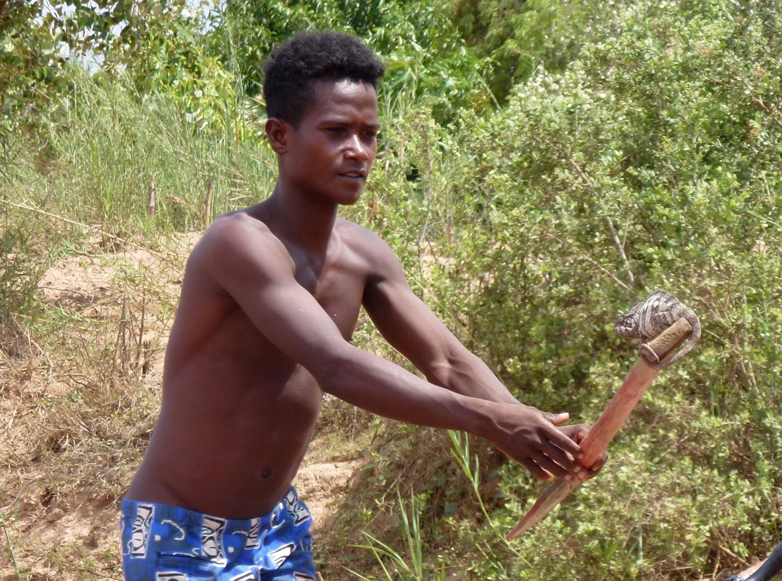 Silvan, one of the rowers catching an Oustalet's chameleon spotted from the canoe.