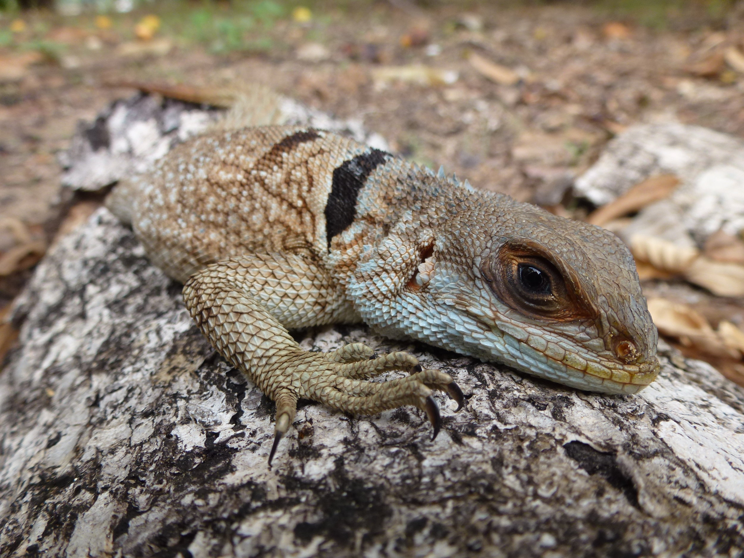 A collared iguana,  Oplurus cuvieri , one of 7 species of Iguanidae from Madagascar.
