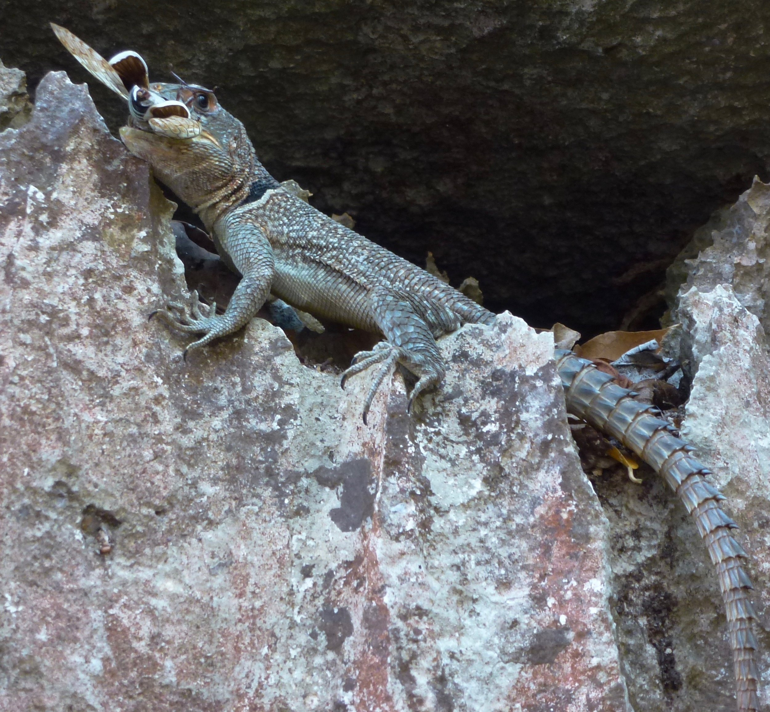 A collared iguana,  Oplurus cuvier , eating lunch at the small tsingy.