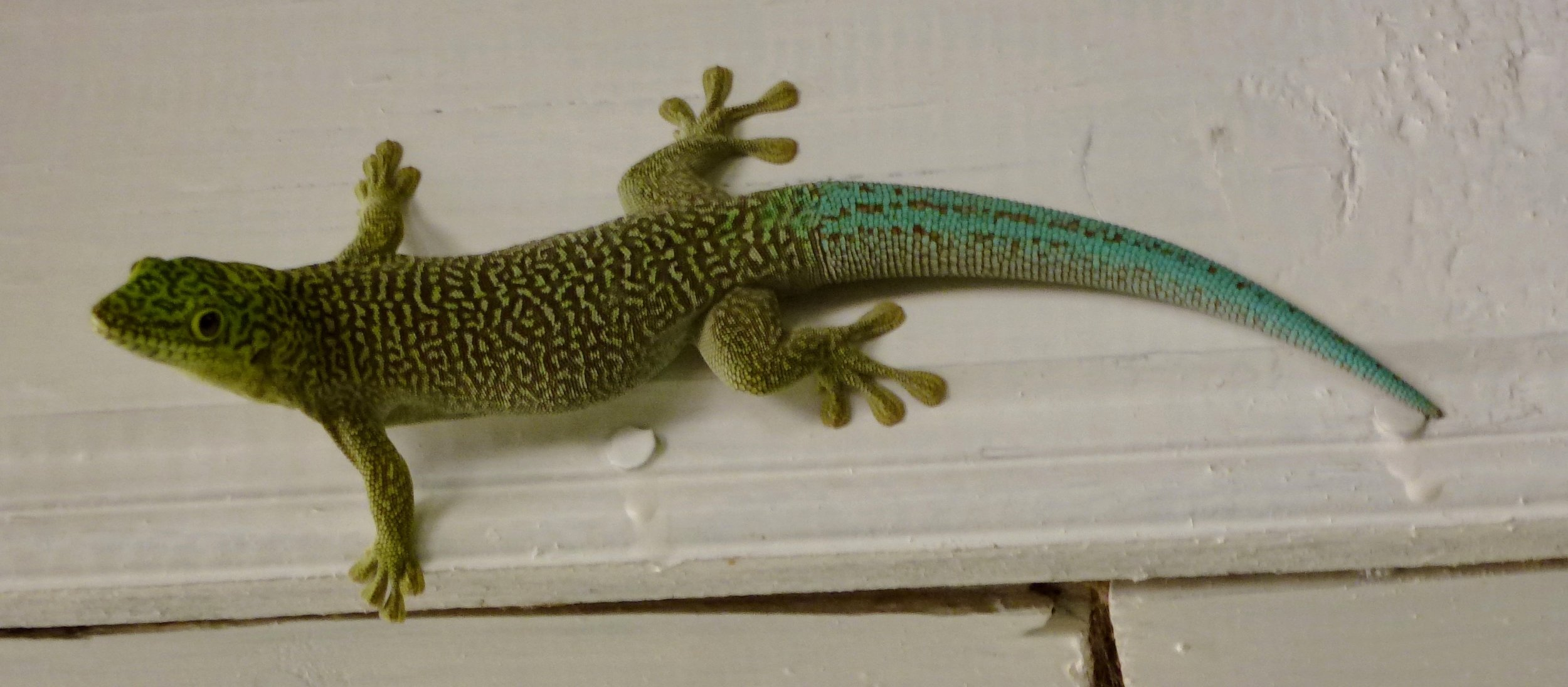 Standing's Day Gecko (Phelsuma standingi) on a building, where we most commonly spotted them. Ifaty.