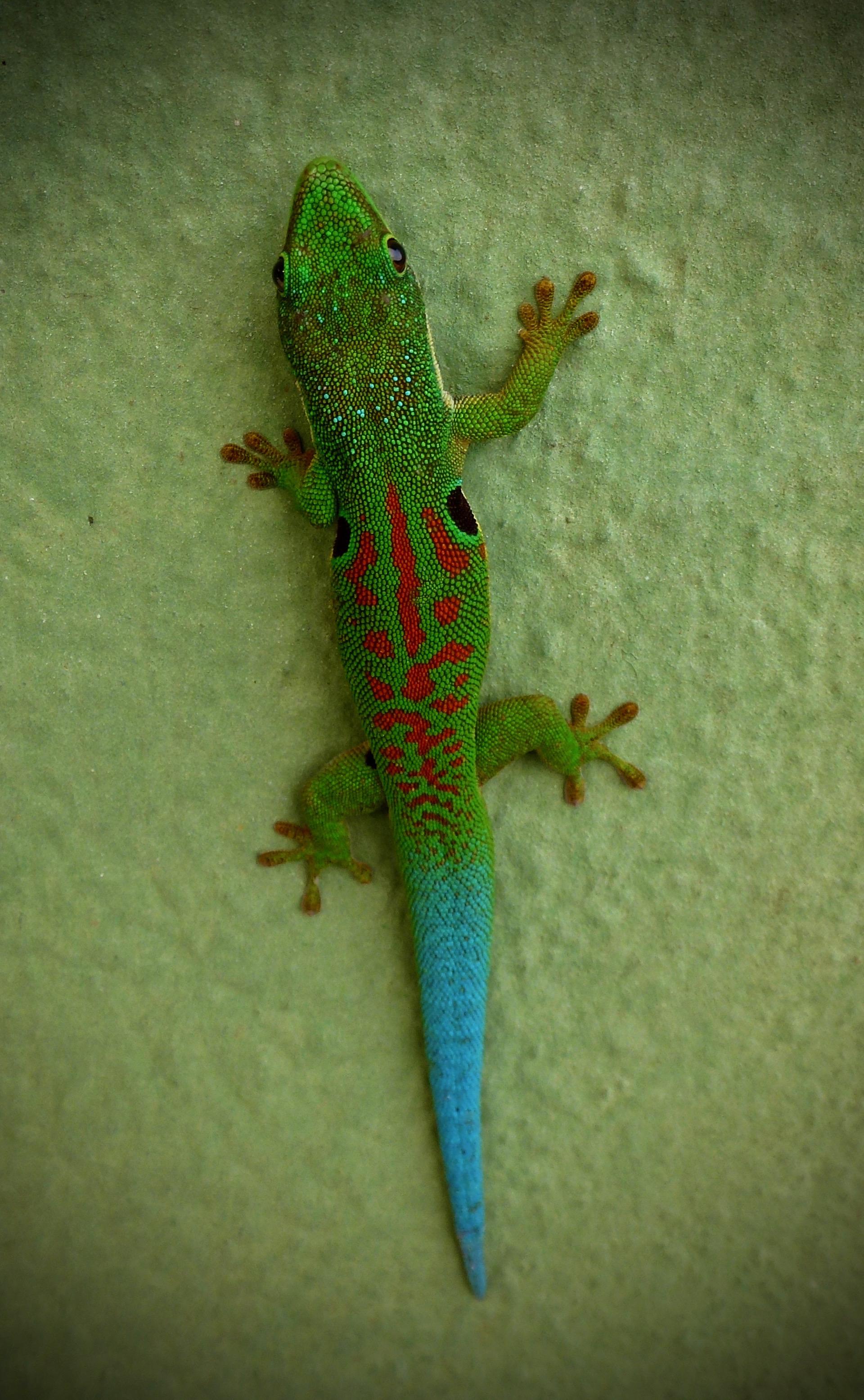 Peacock Day Gecko (Phelsuma quadriocellata). Ranomafana.
