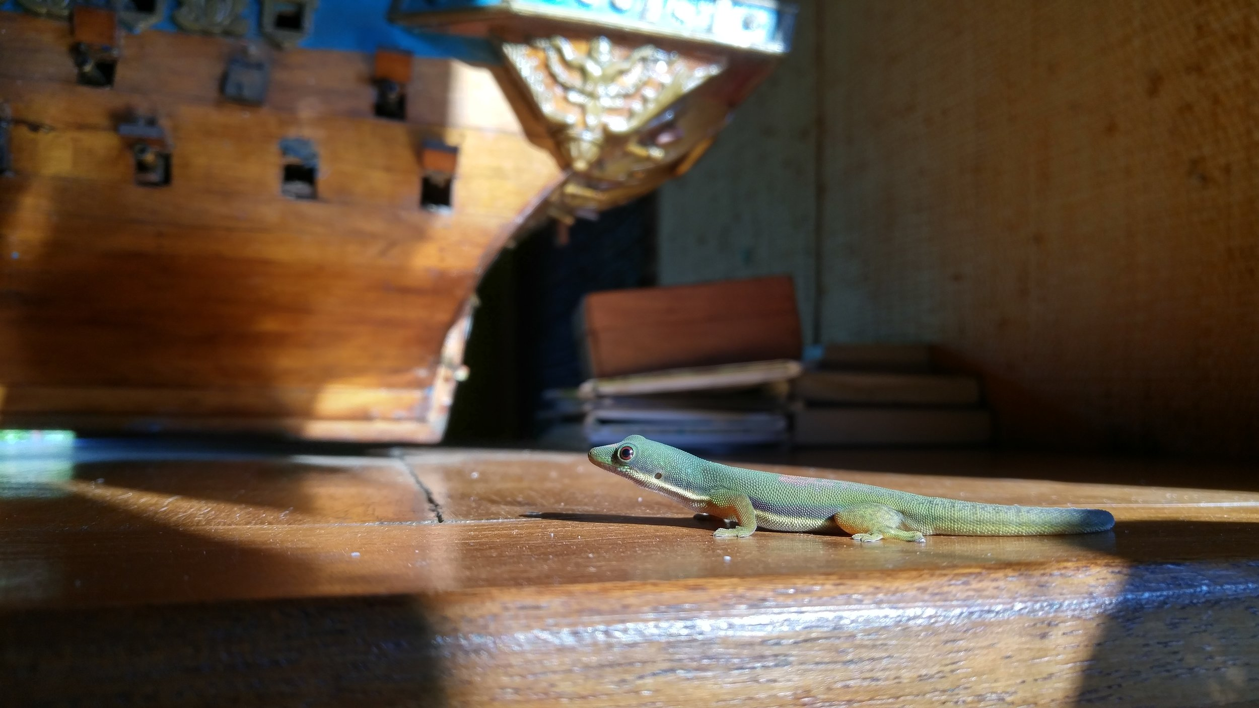 Lined Day Gecko (Phelsuma lineata) on the counter of a restaurant. Andasibe.