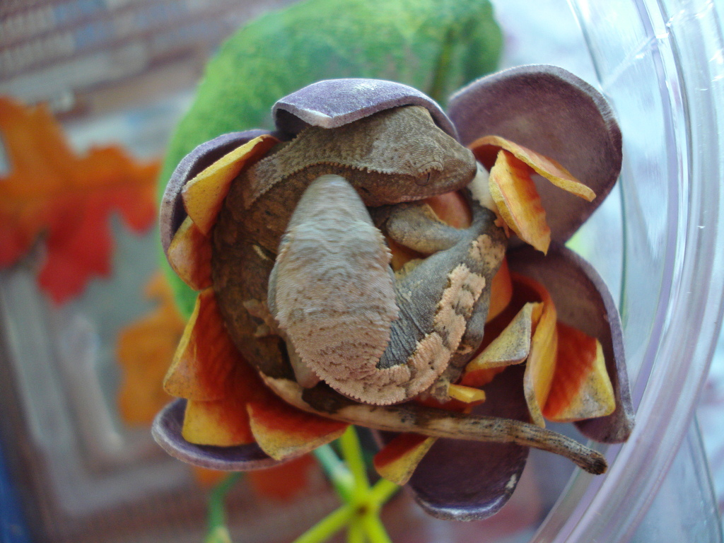crestedgecko.jpg