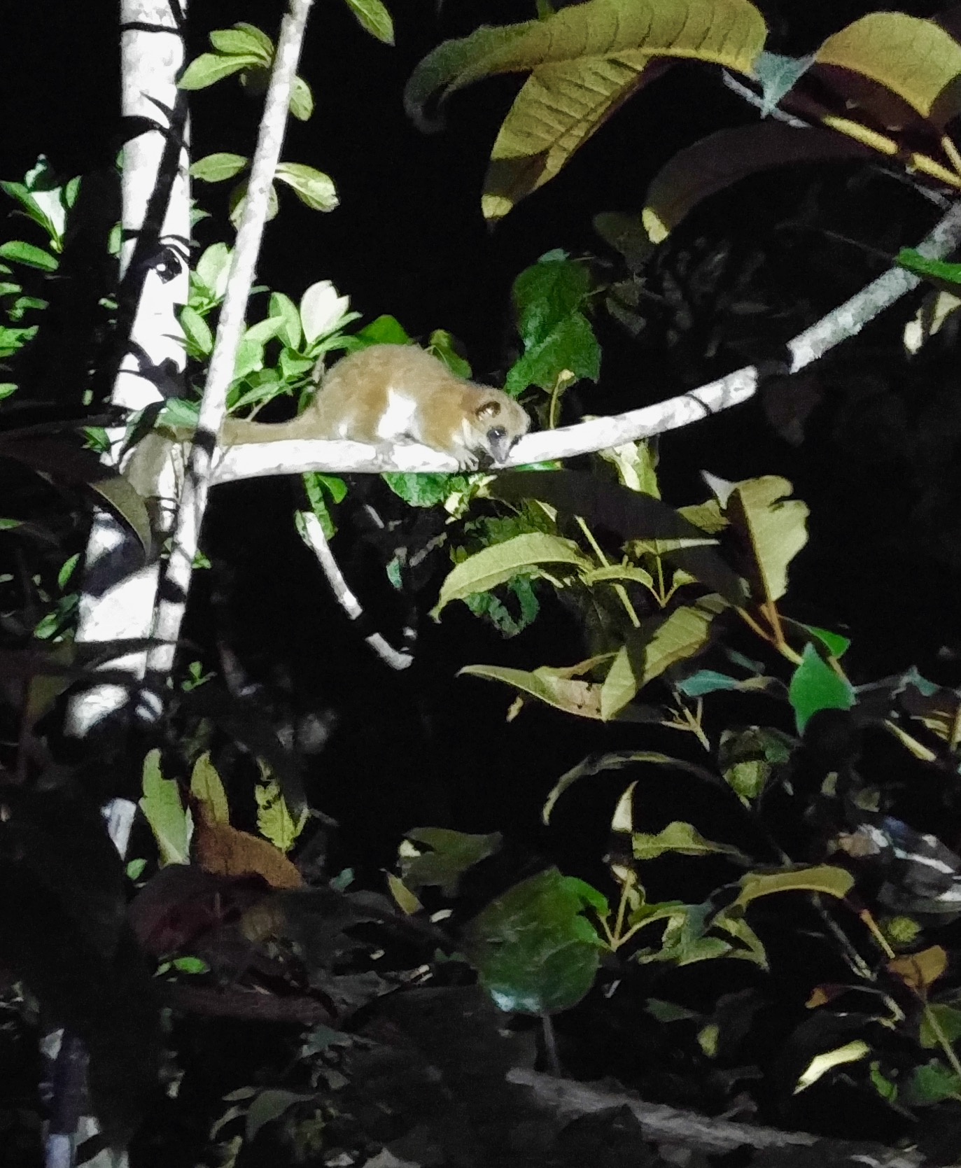 A nocturnal lemur was the audience at night.