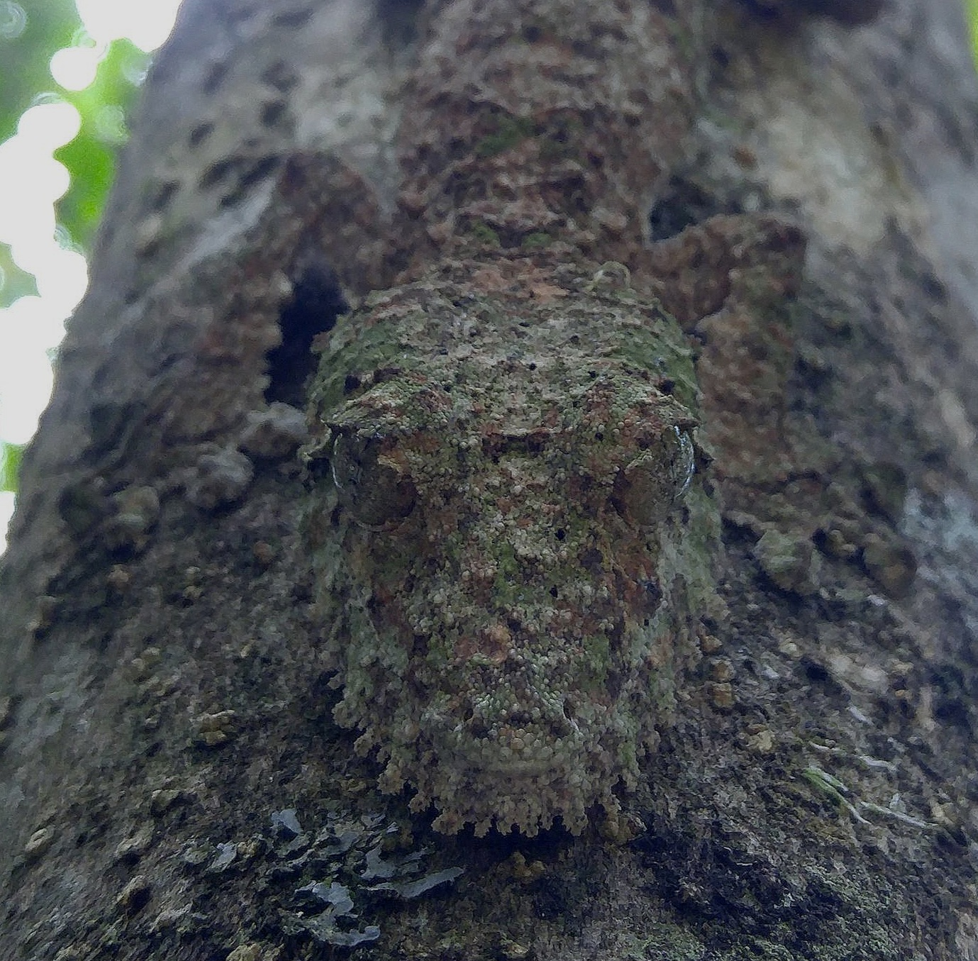That beard is amazing.  Uroplatus fimbriatus.