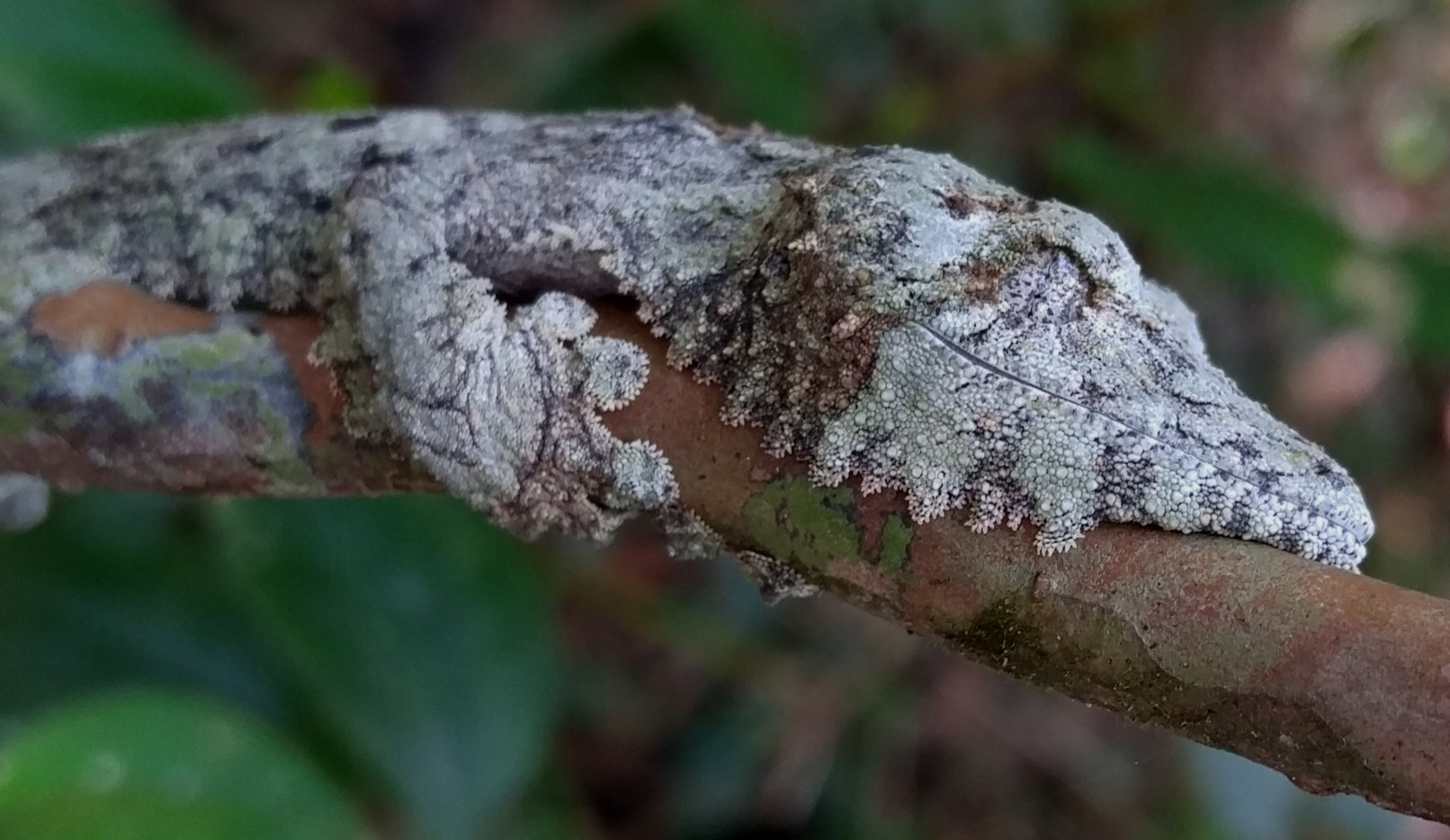 Leaf-tail geckos,  Uroplatus , are an incredible group of geckos that have evolved ultimate camouflage to avoid predation while they sleep during the day.